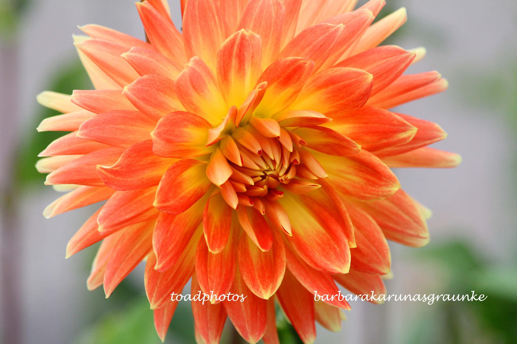 orange dahlia by bkgraunke