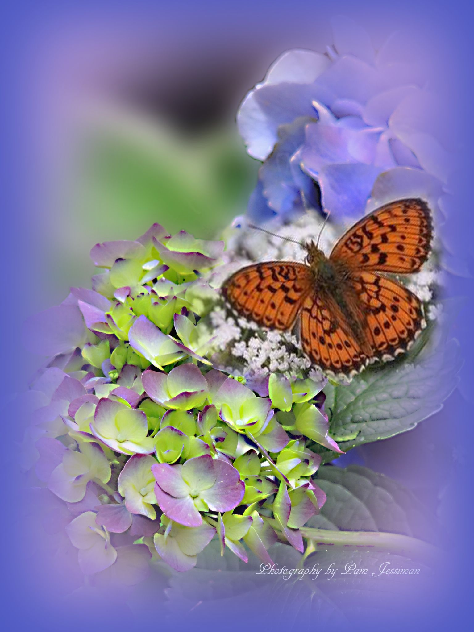 Hydrangea with butterfly by pamjessiman