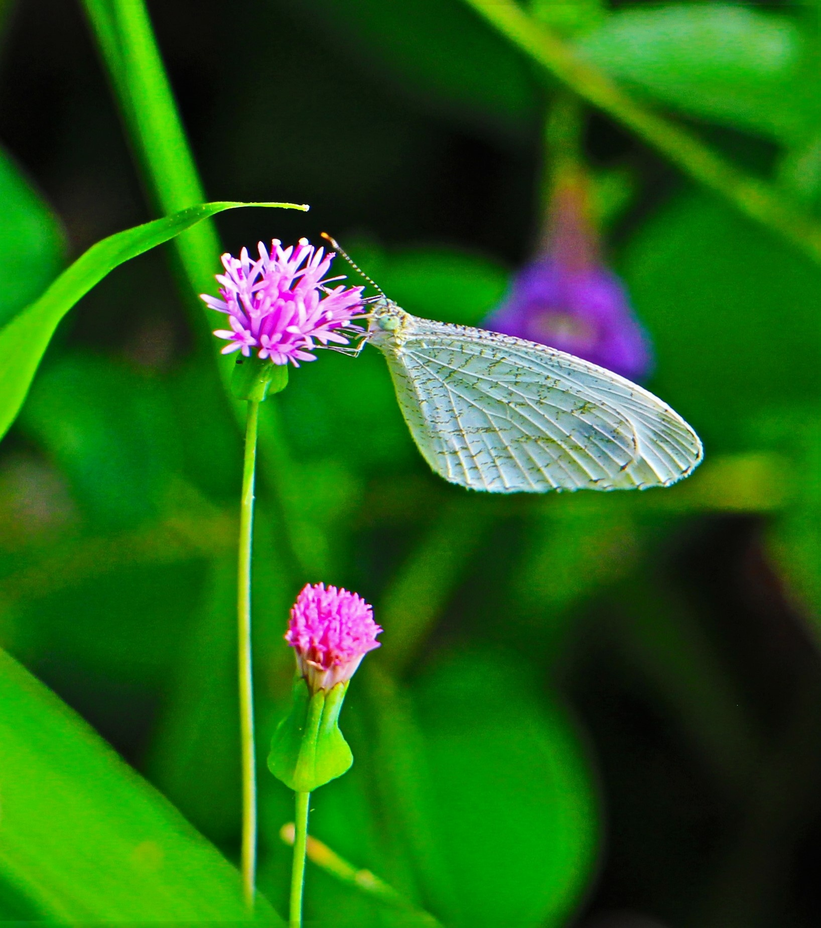 White Butterfly. by A.Samathasena