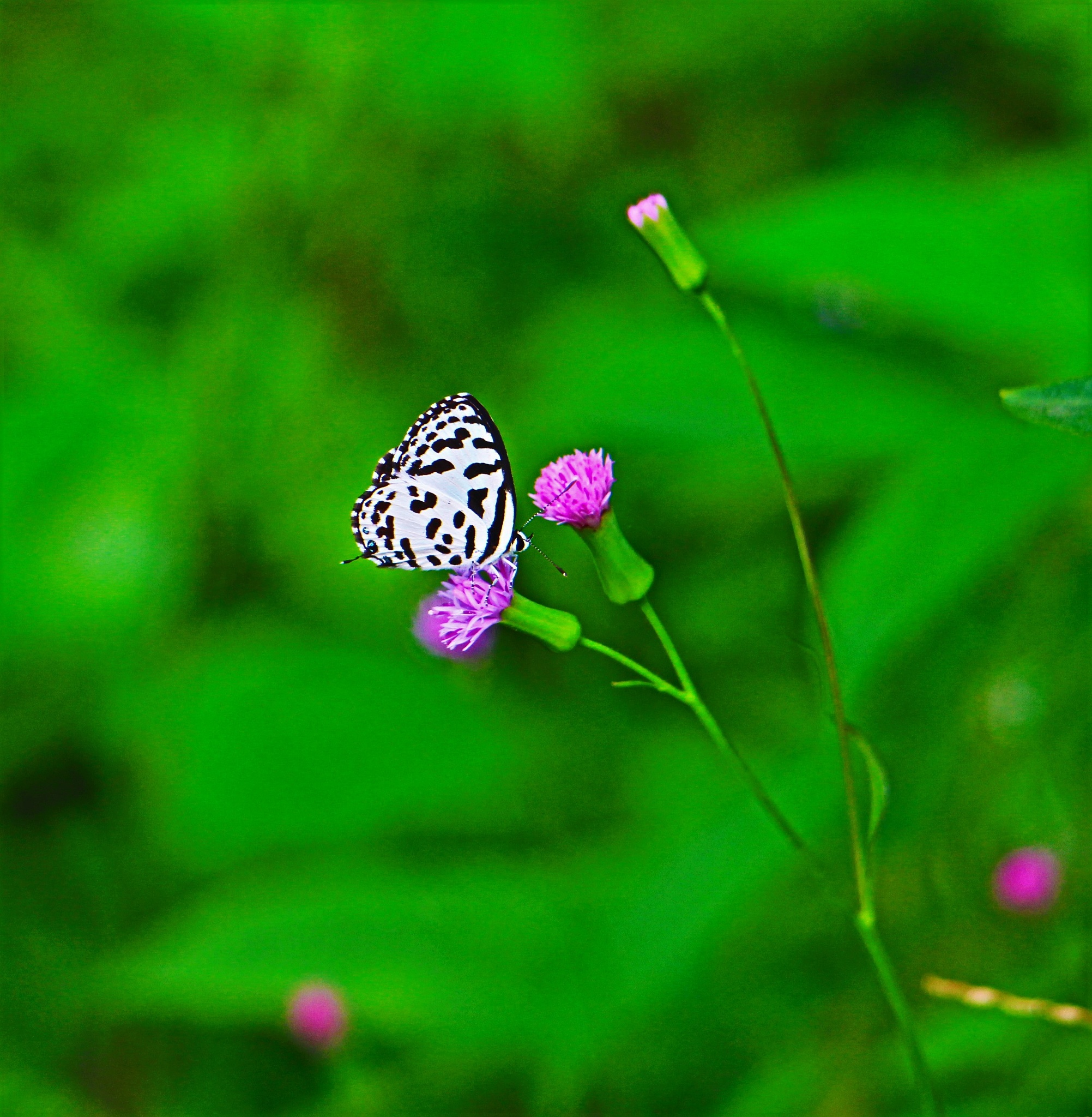 Design White Small Butterfly. by A.Samathasena