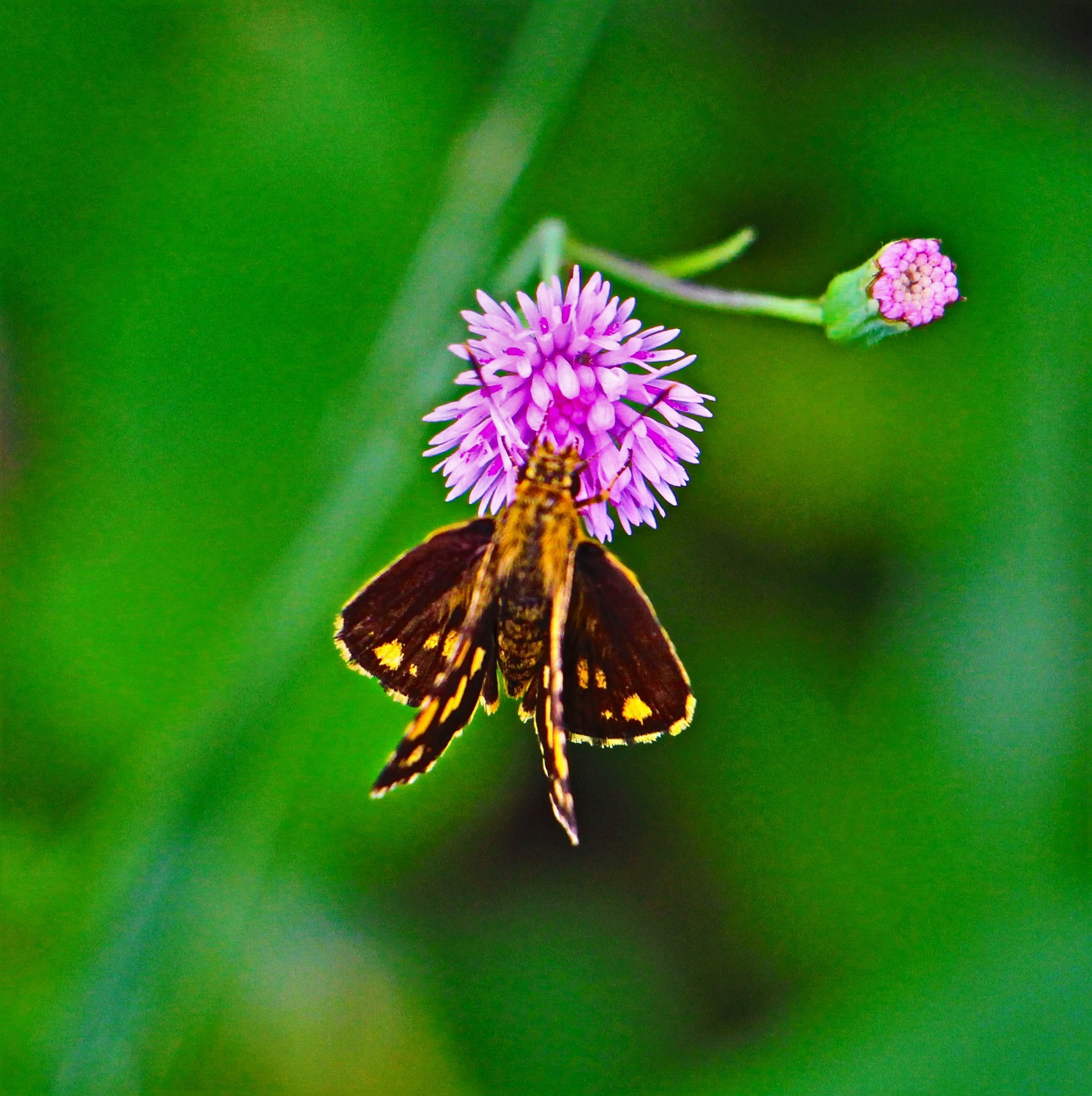 A moth Is On The Flower. by A.Samathasena