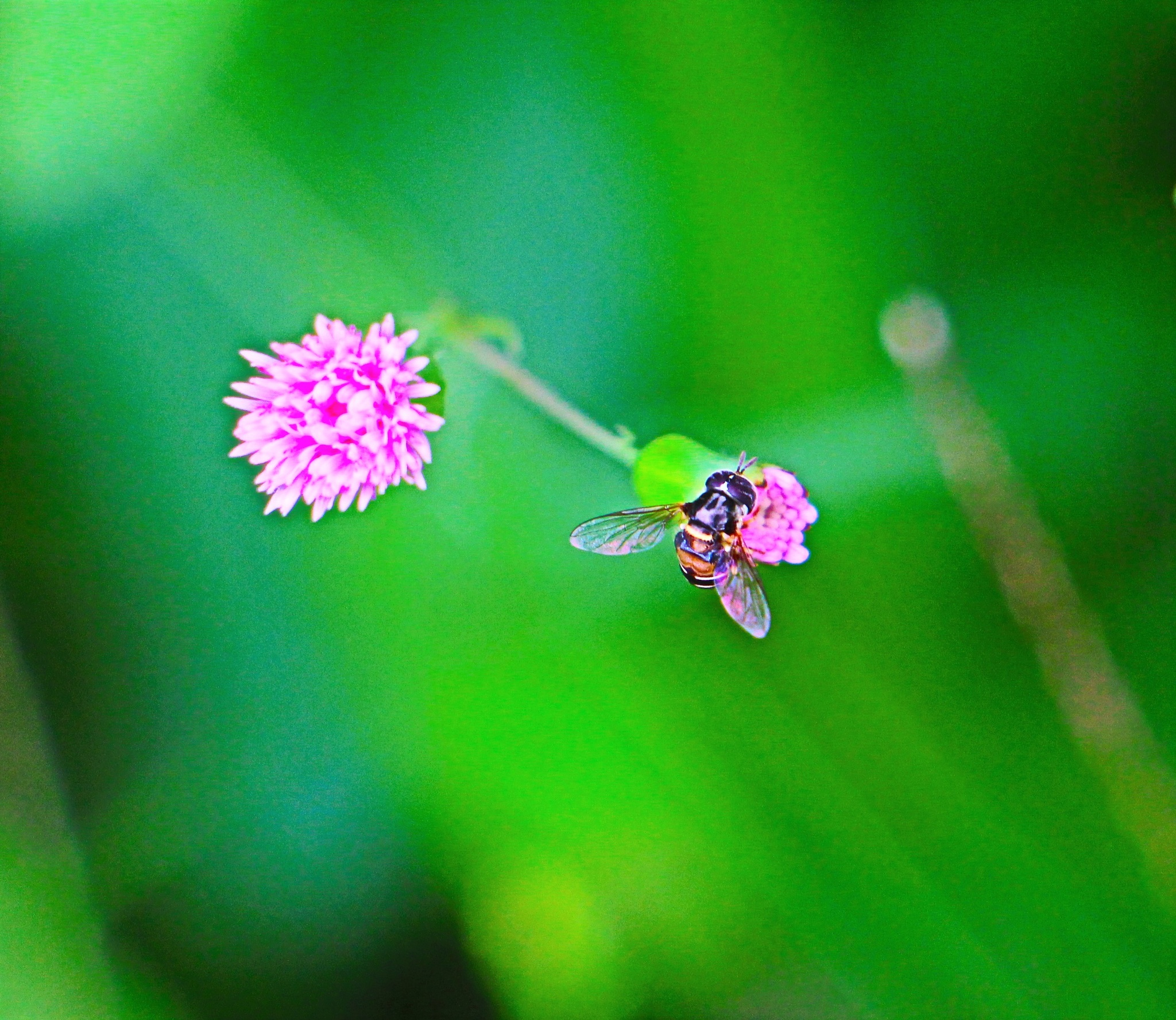 A Mini Bee. by A.Samathasena