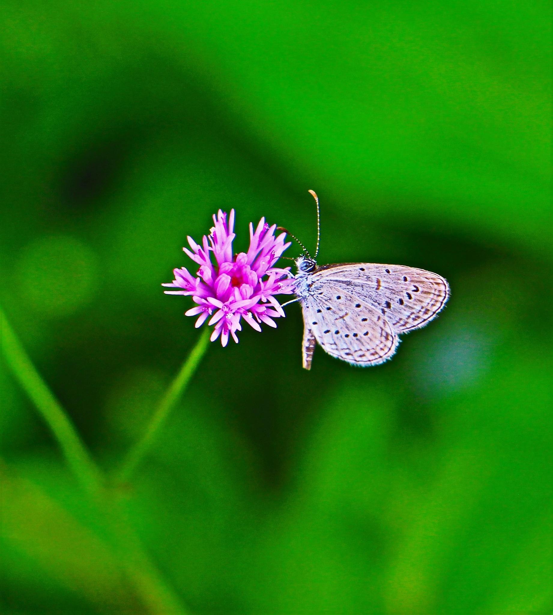 A Mini Butterfly Friend. by A.Samathasena