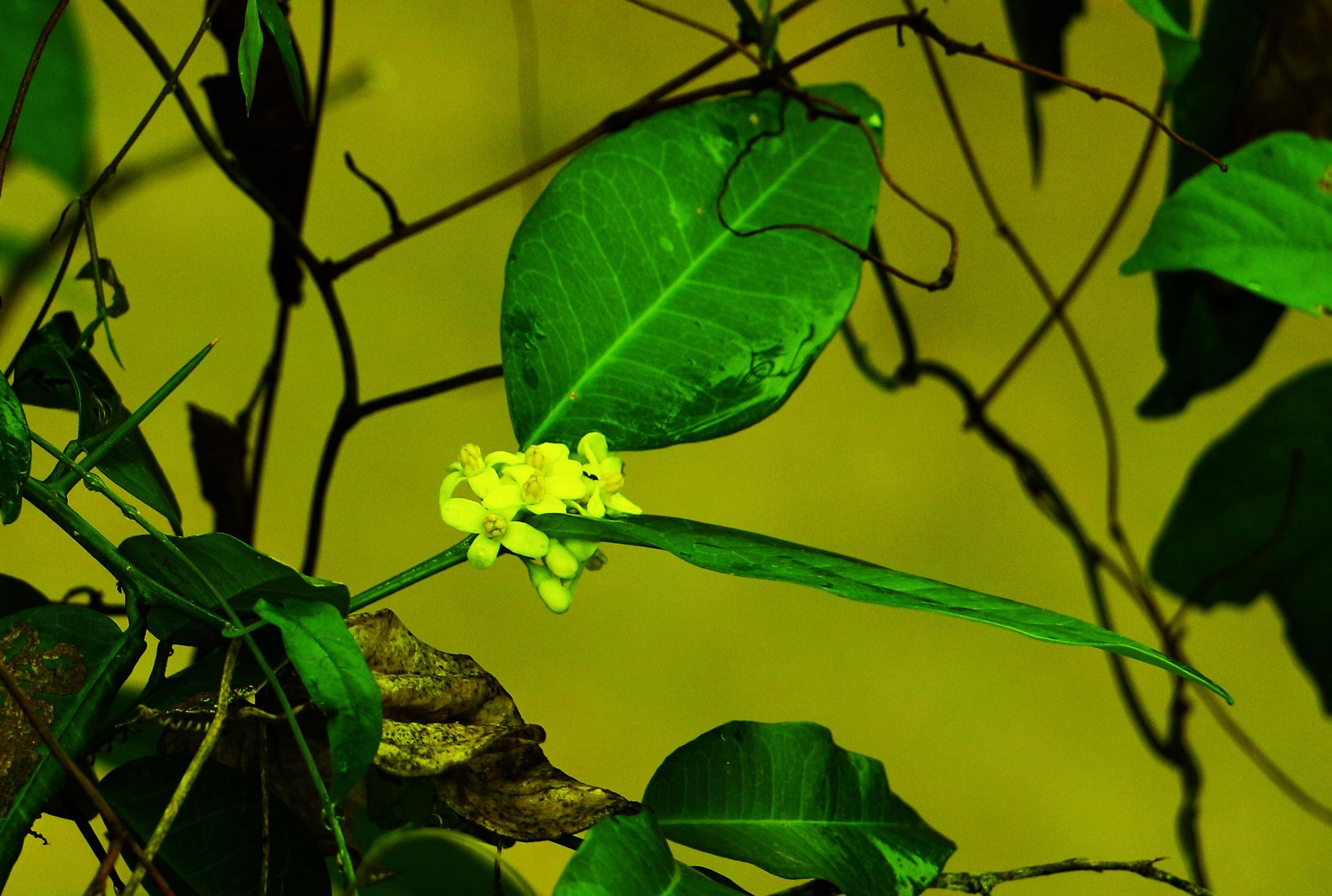 Wild Lime Green Leaf And Flowers. by A.Samathasena