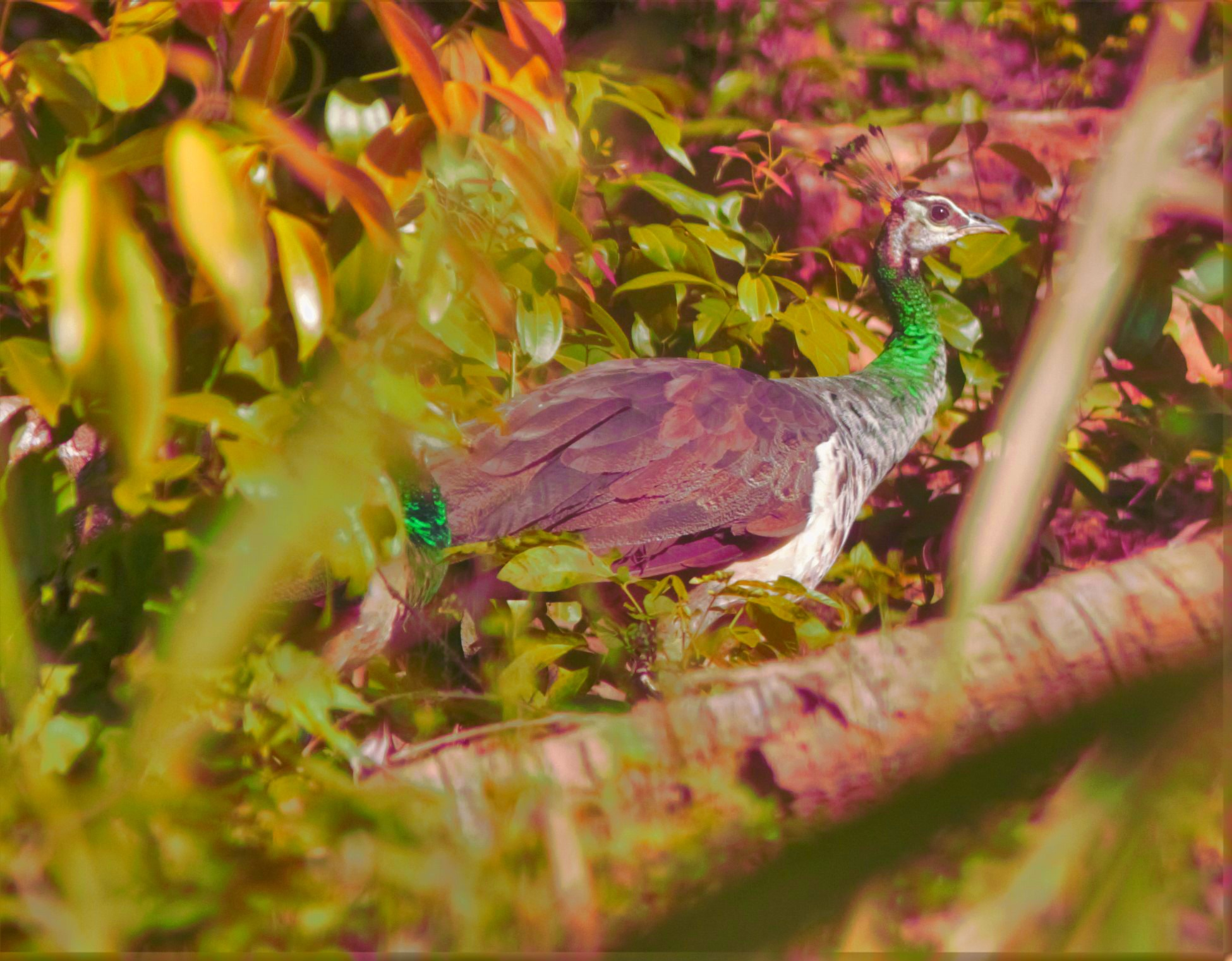 A Peacock Hen.{Female Peacock.} by A.Samathasena
