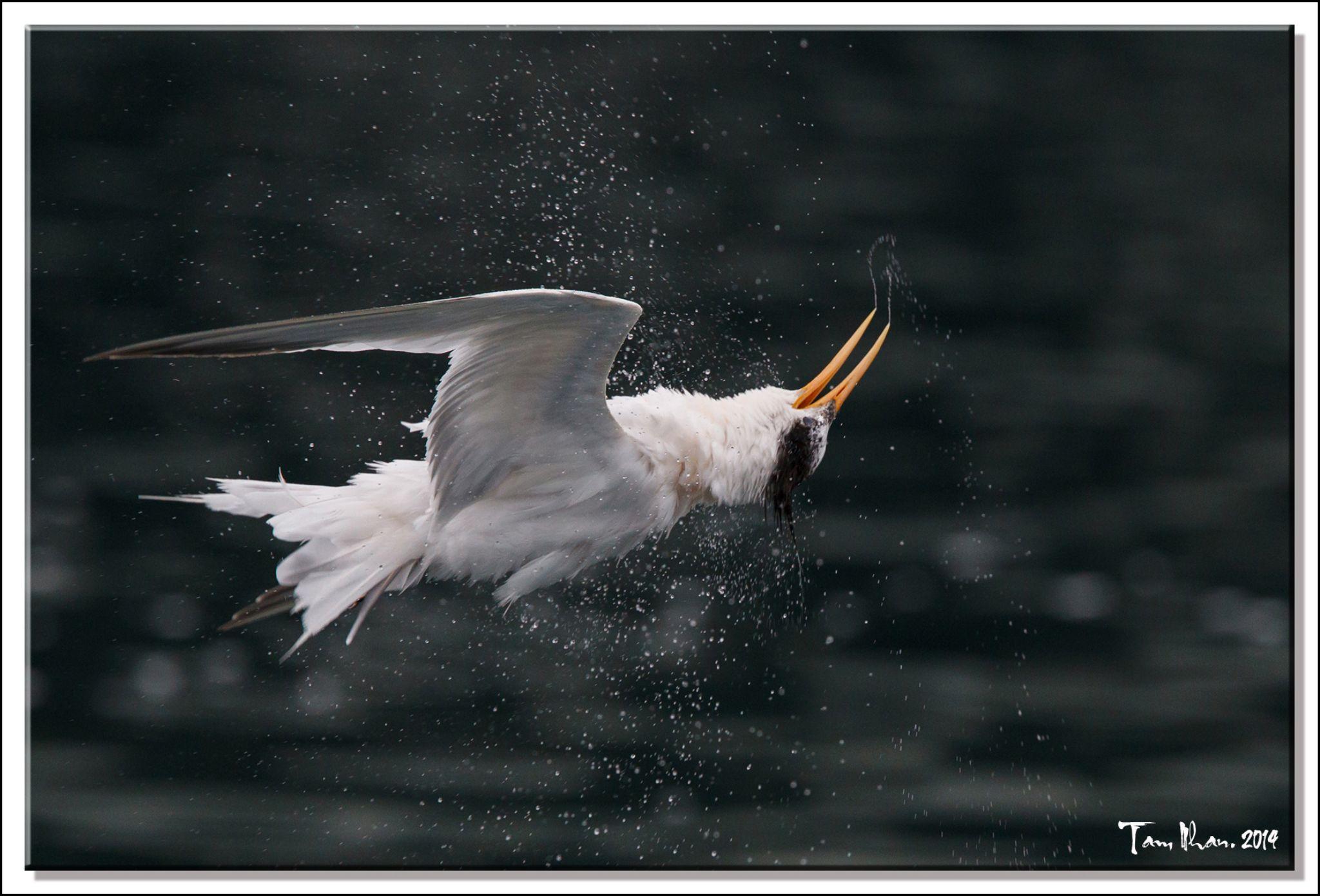 Elegant Tern shake 'n twist its head after diving by Tam Nhan