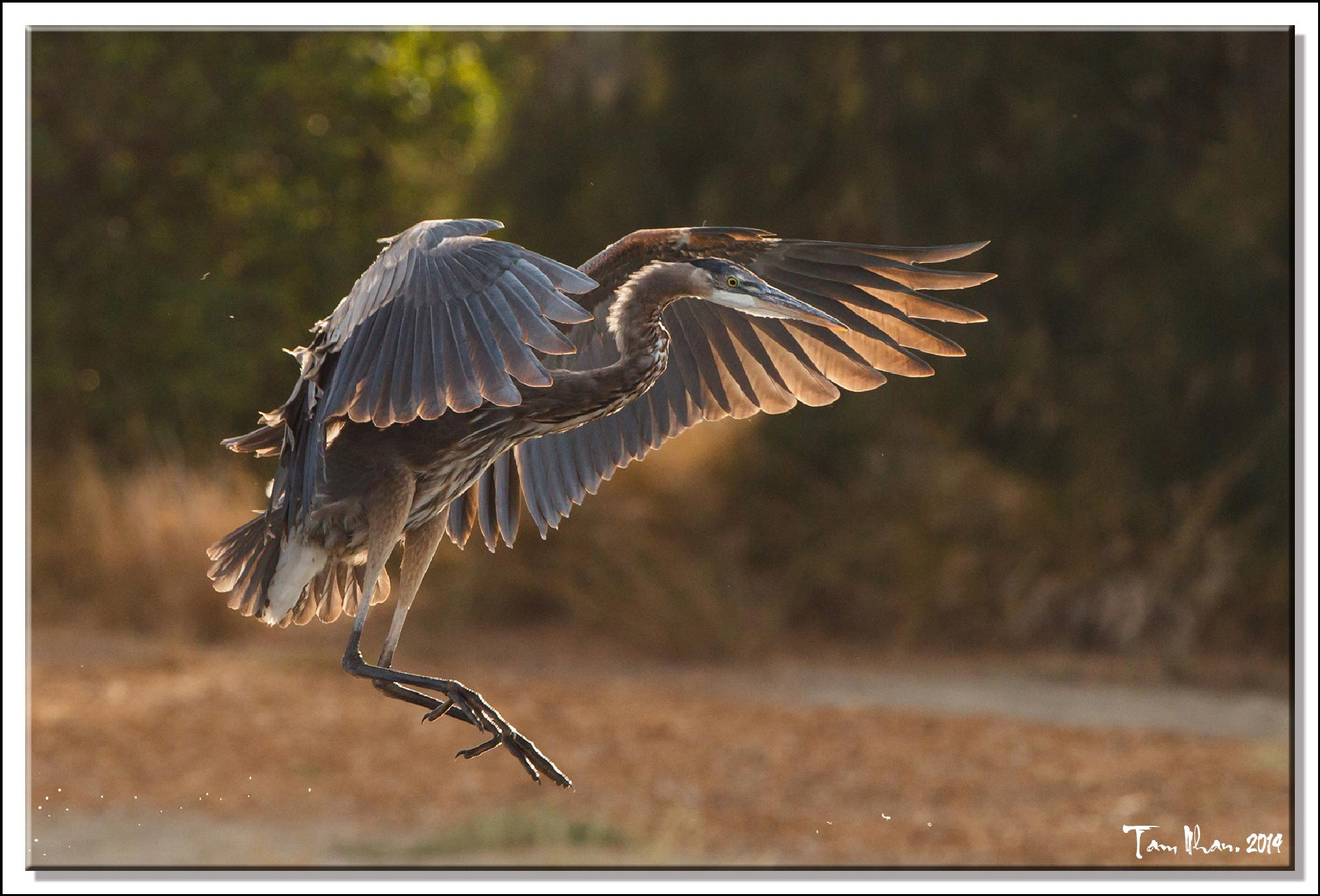 Great Blue Heron comes to landing by Tam Nhan