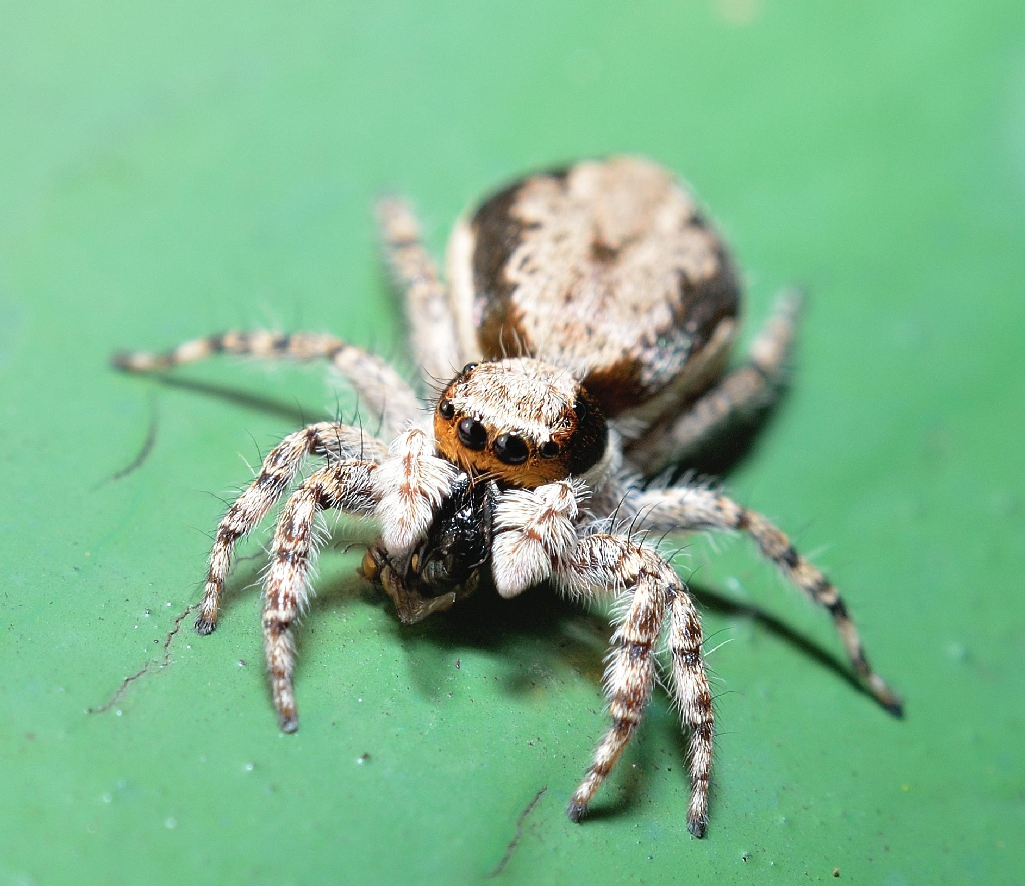 Spider by supriadi lee