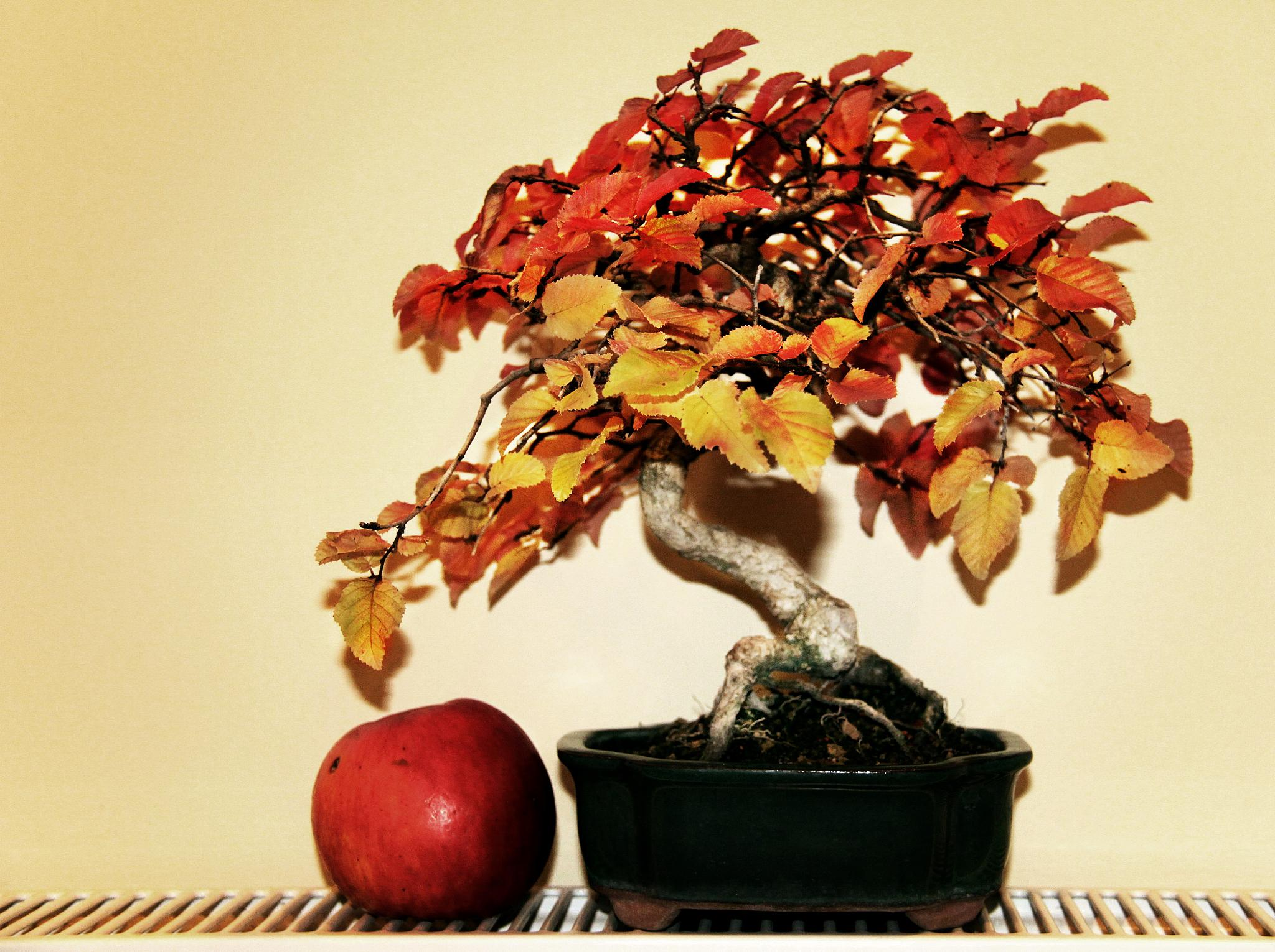 carpinus coreana bonsai.  by gyongyi.hadfy