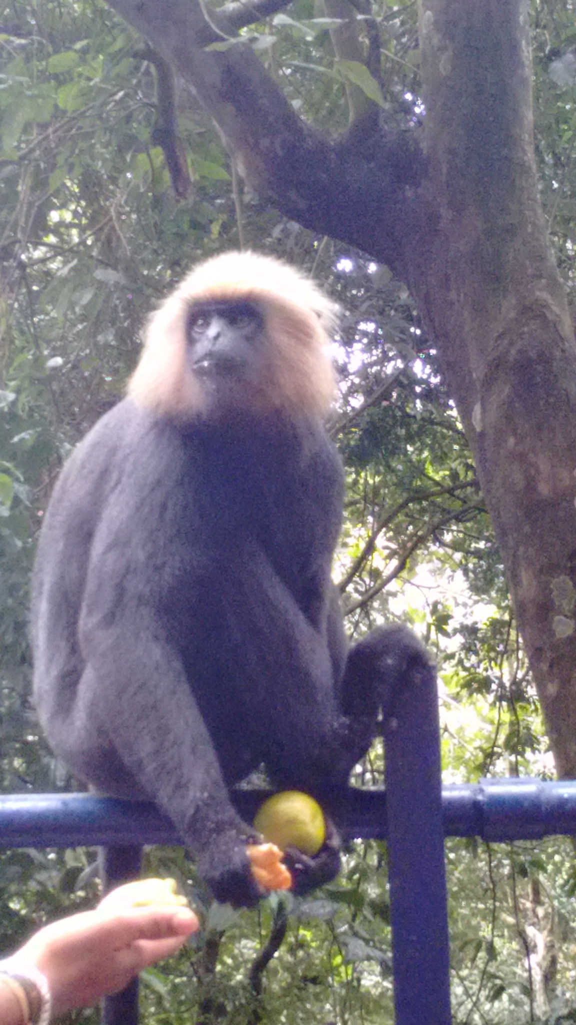 LION TAILED MACAQUE by ashish.ashok1