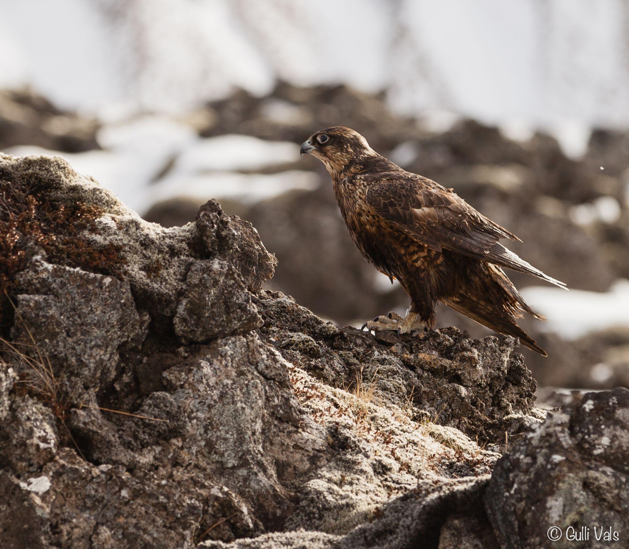 Lava and Falcon. by Gunnlaugur Orn Valsson