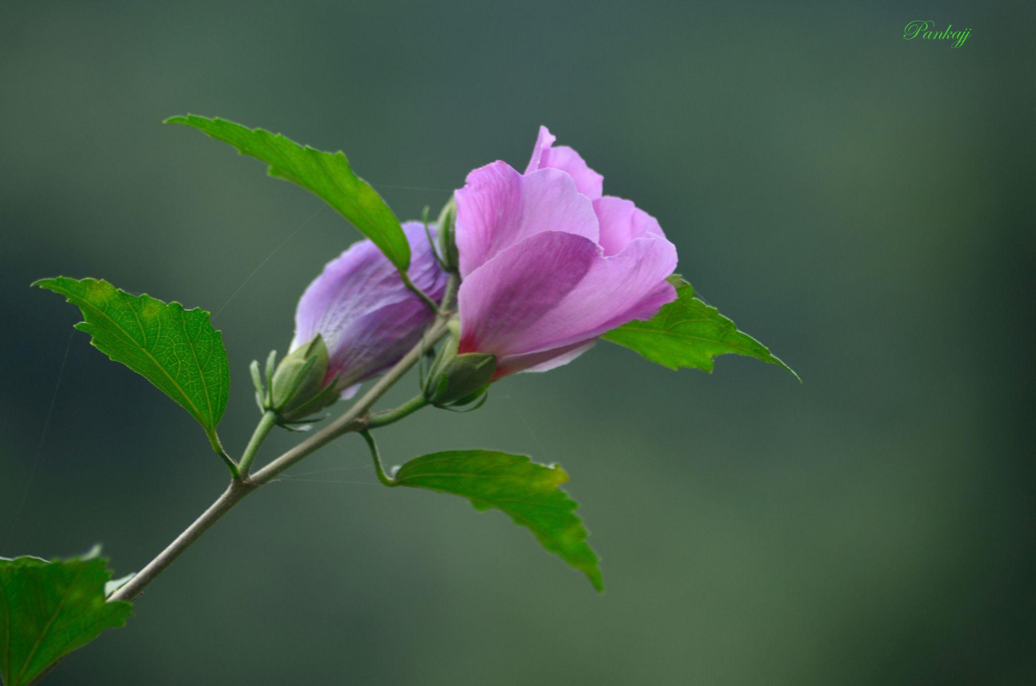 Flowers by Pankaj Kumar