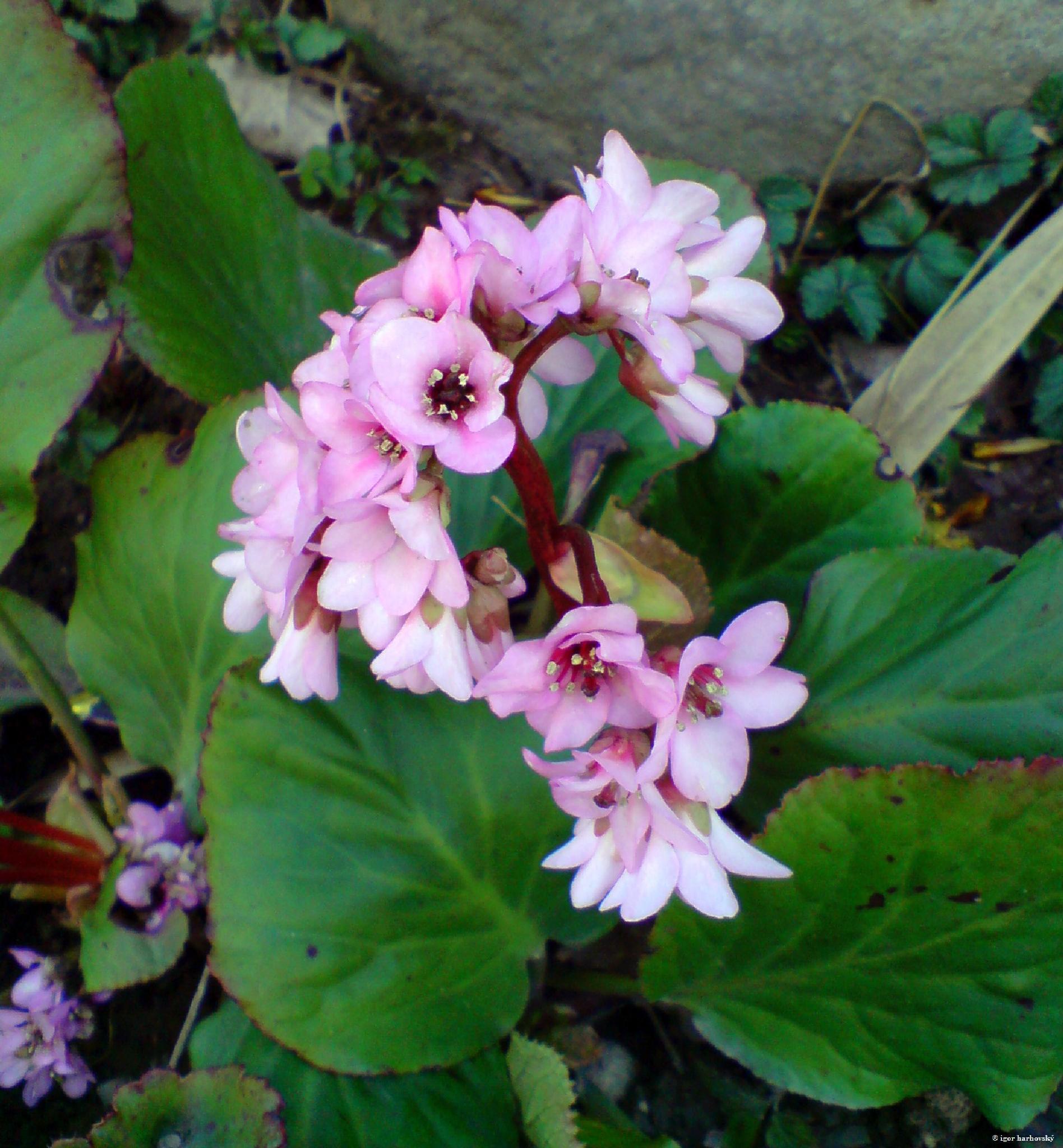 flower by igor.harhovsky
