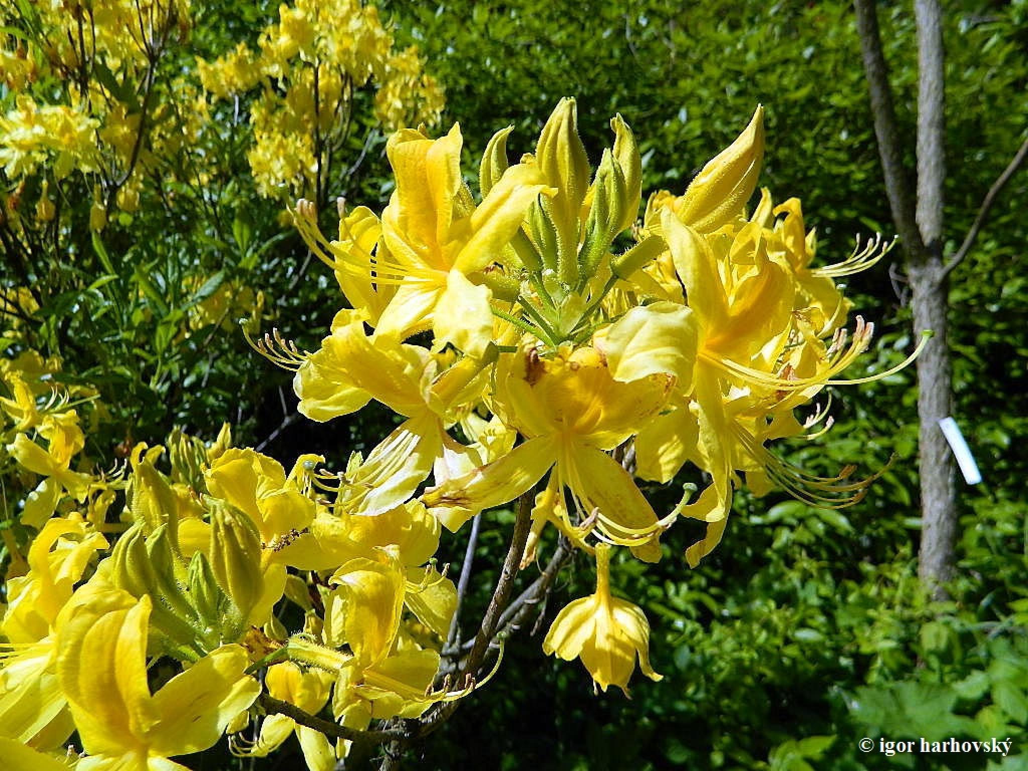 yellow flower by igor.harhovsky