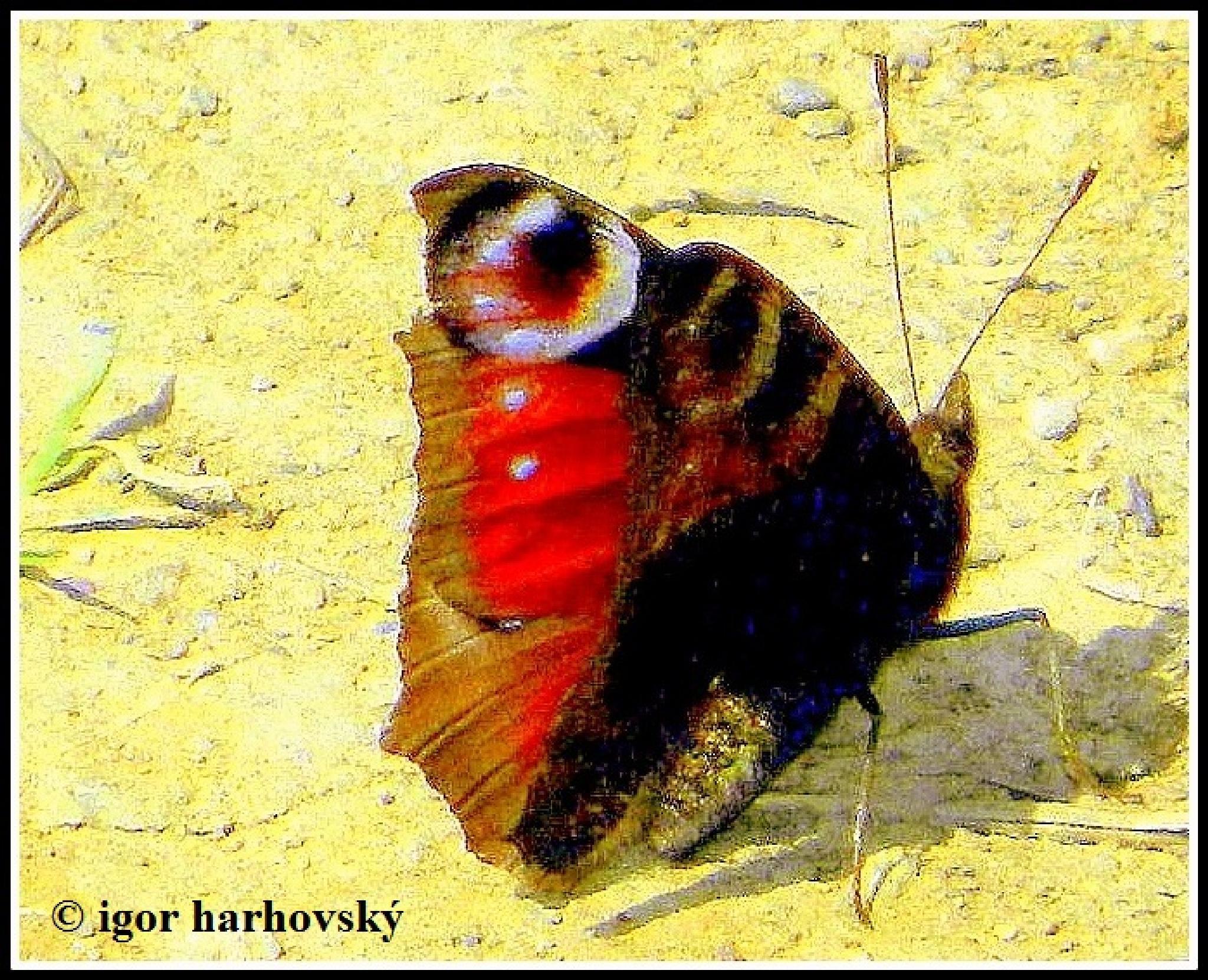 butterfly by igor.harhovsky