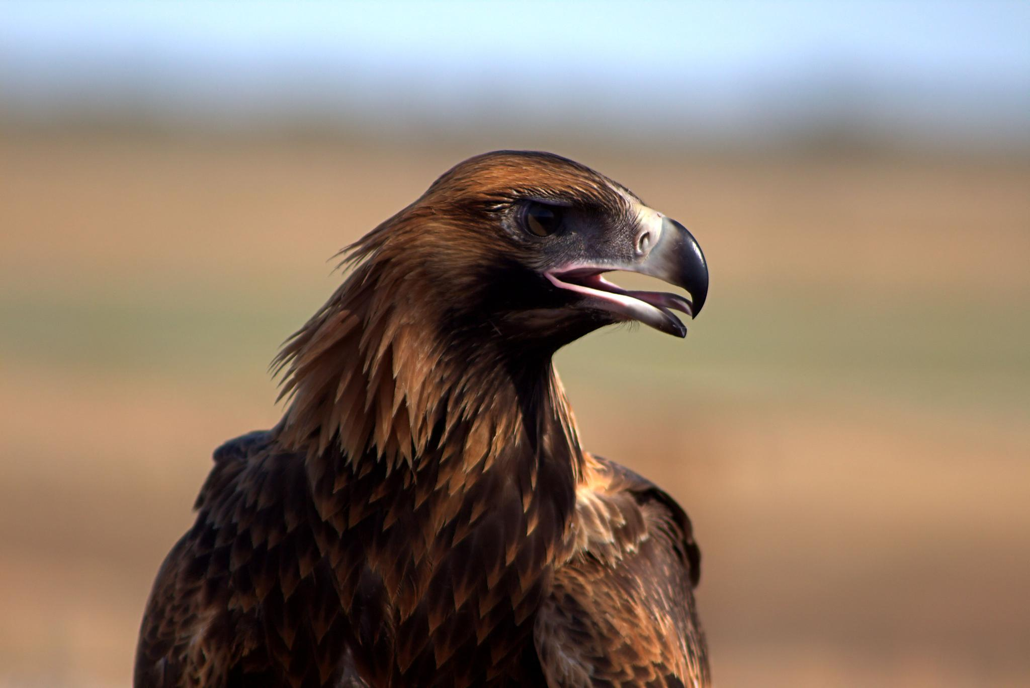 Australian:  Aquila audax, commomly known as Wedge tailed Eagle by jan.jacka.1