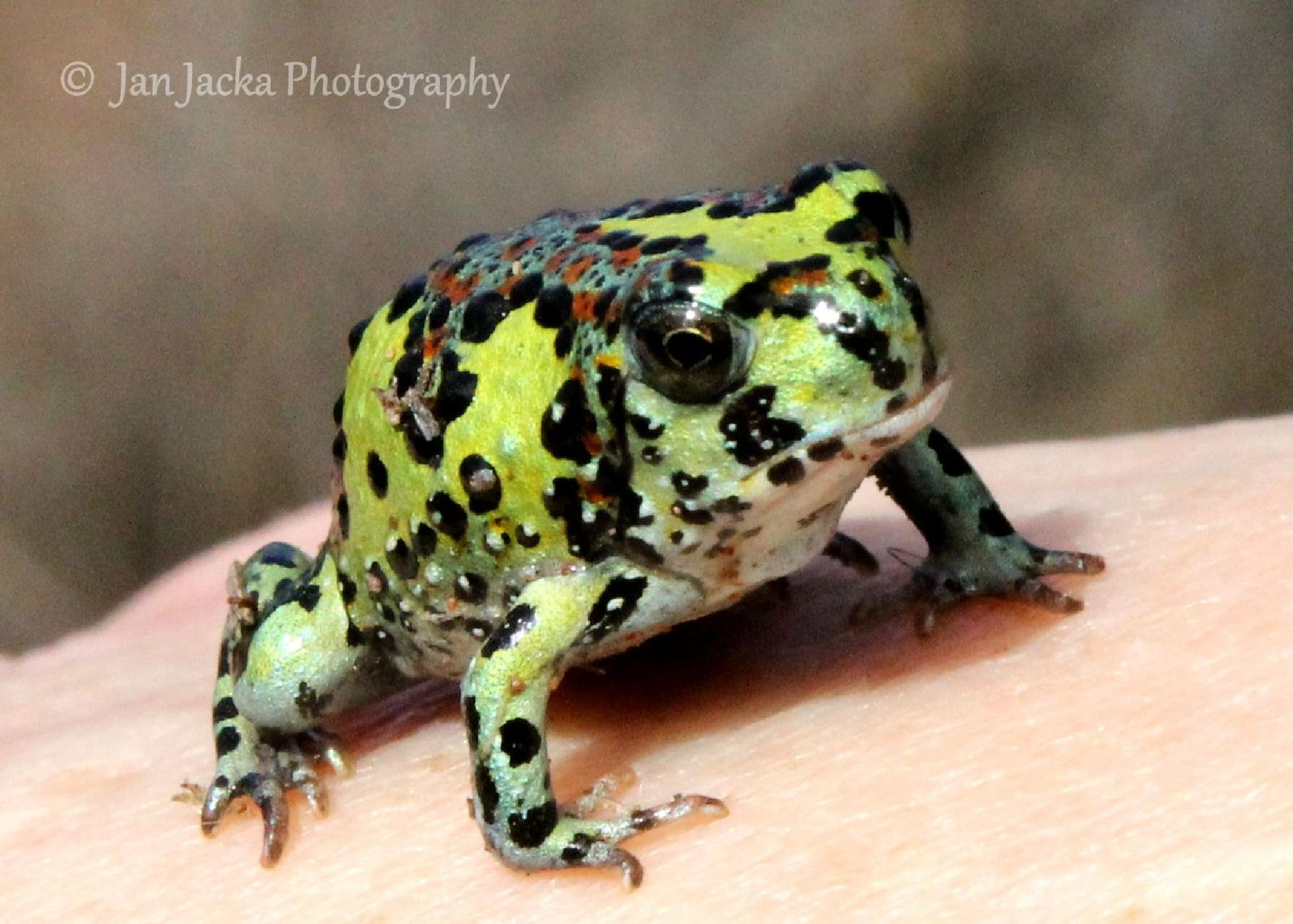 Australian: Notaden bennettii or commonly known as the Cruifix Frog by jan.jacka.1