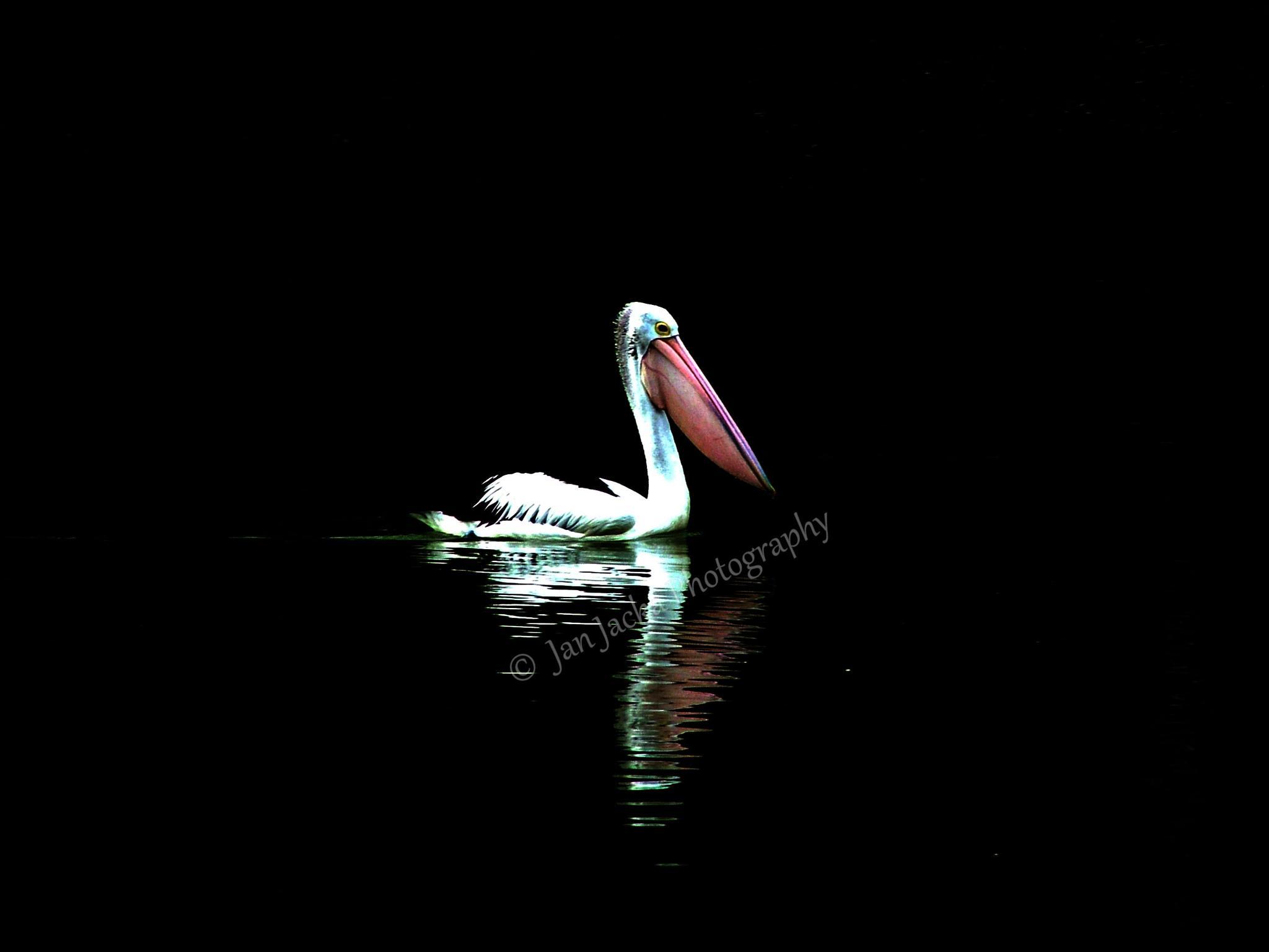 Pelican :  Edited by jan.jacka.1
