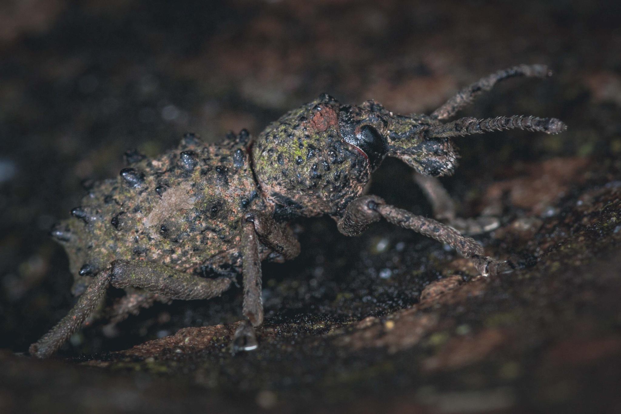 Earthy weevil by paul.bradbury