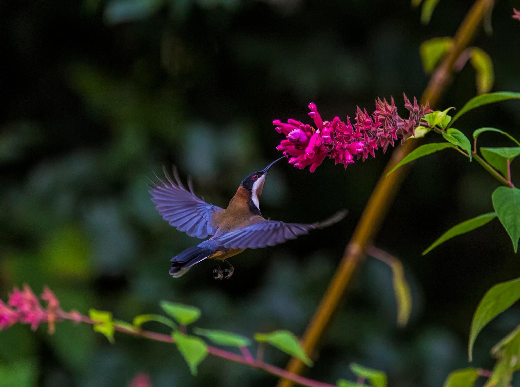 Photo in Animal #hover #flight #freeze #bird #spinebill #feeding #nature