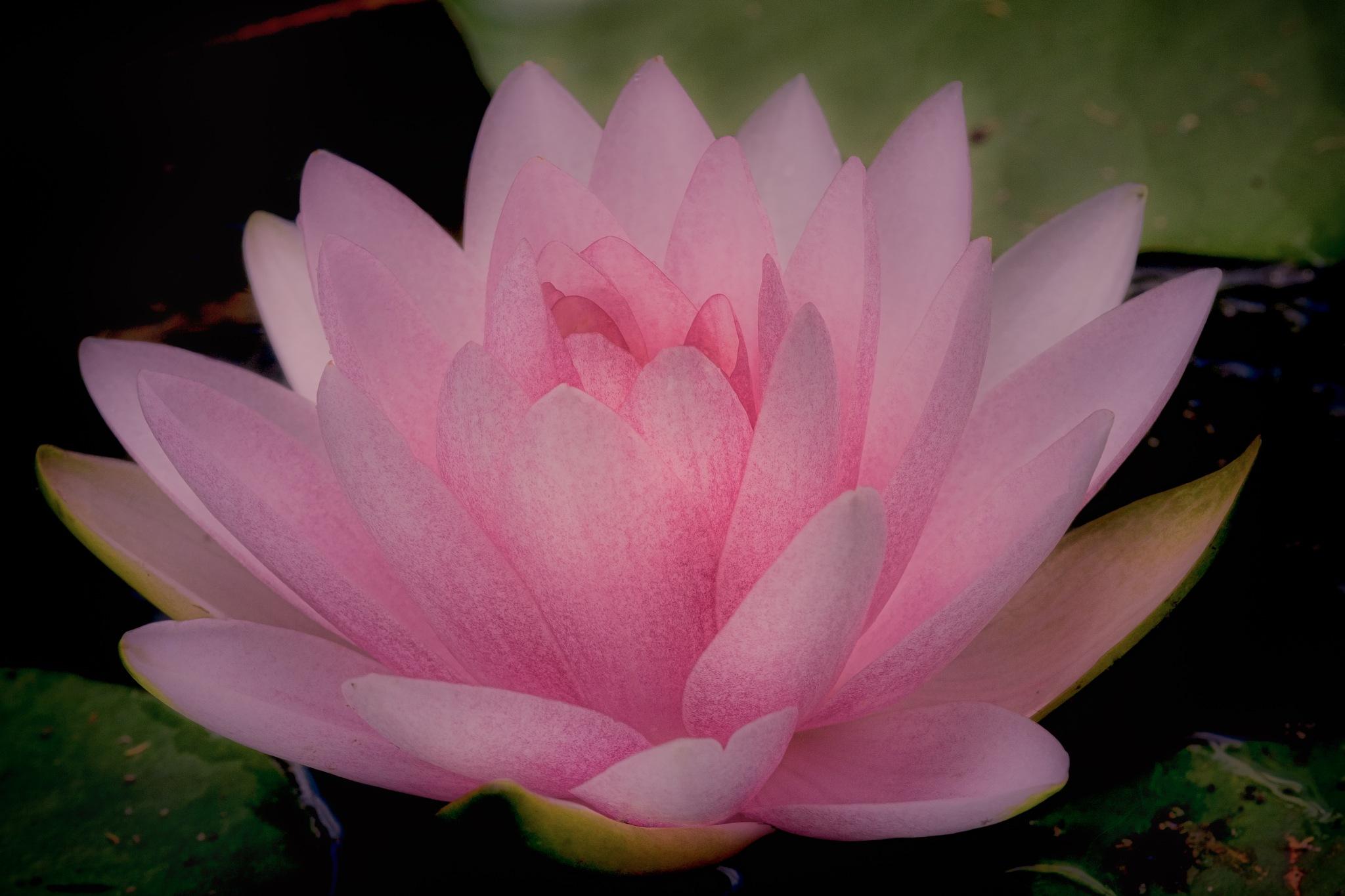 Pastel Lotus by paul.bradbury