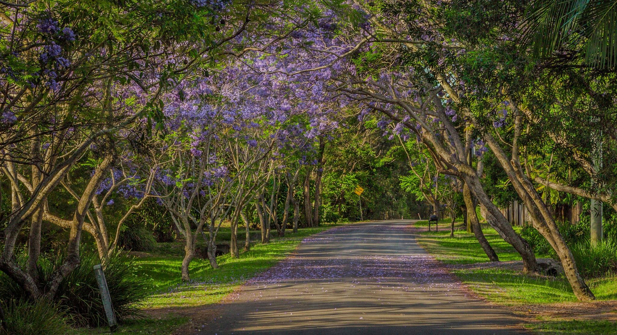 Jacaranda Season by paul.bradbury