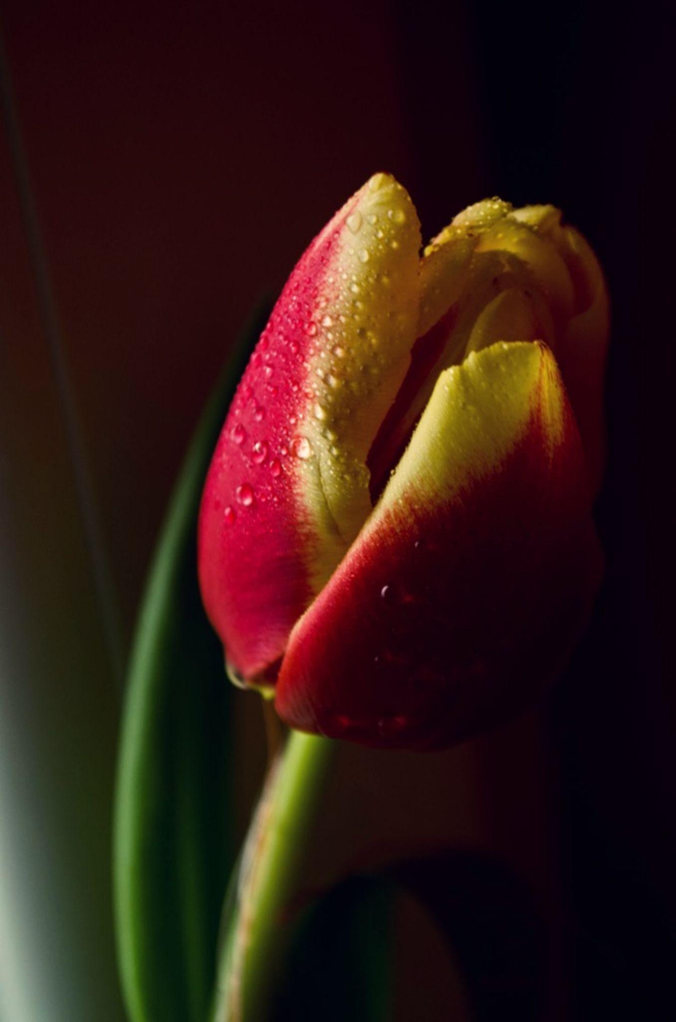 Tulip by waaterproof