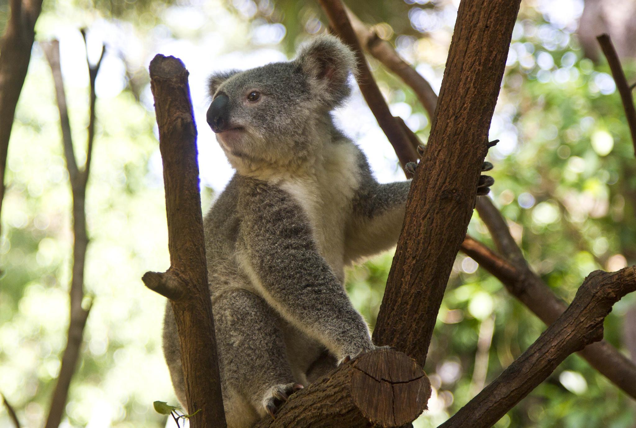 Koala Lookout by Isabella Clarke