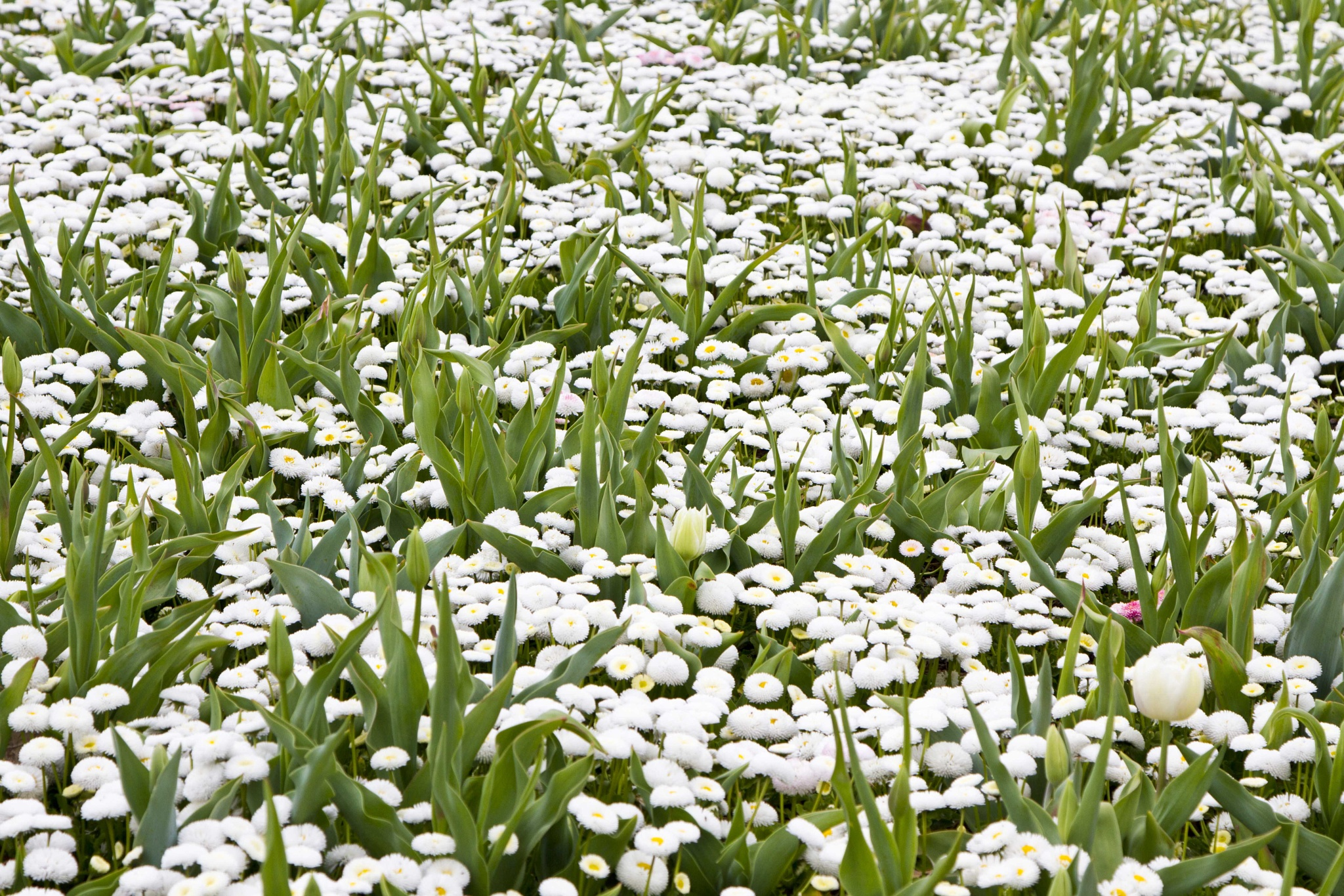 Carpet of White by Isabella Clarke