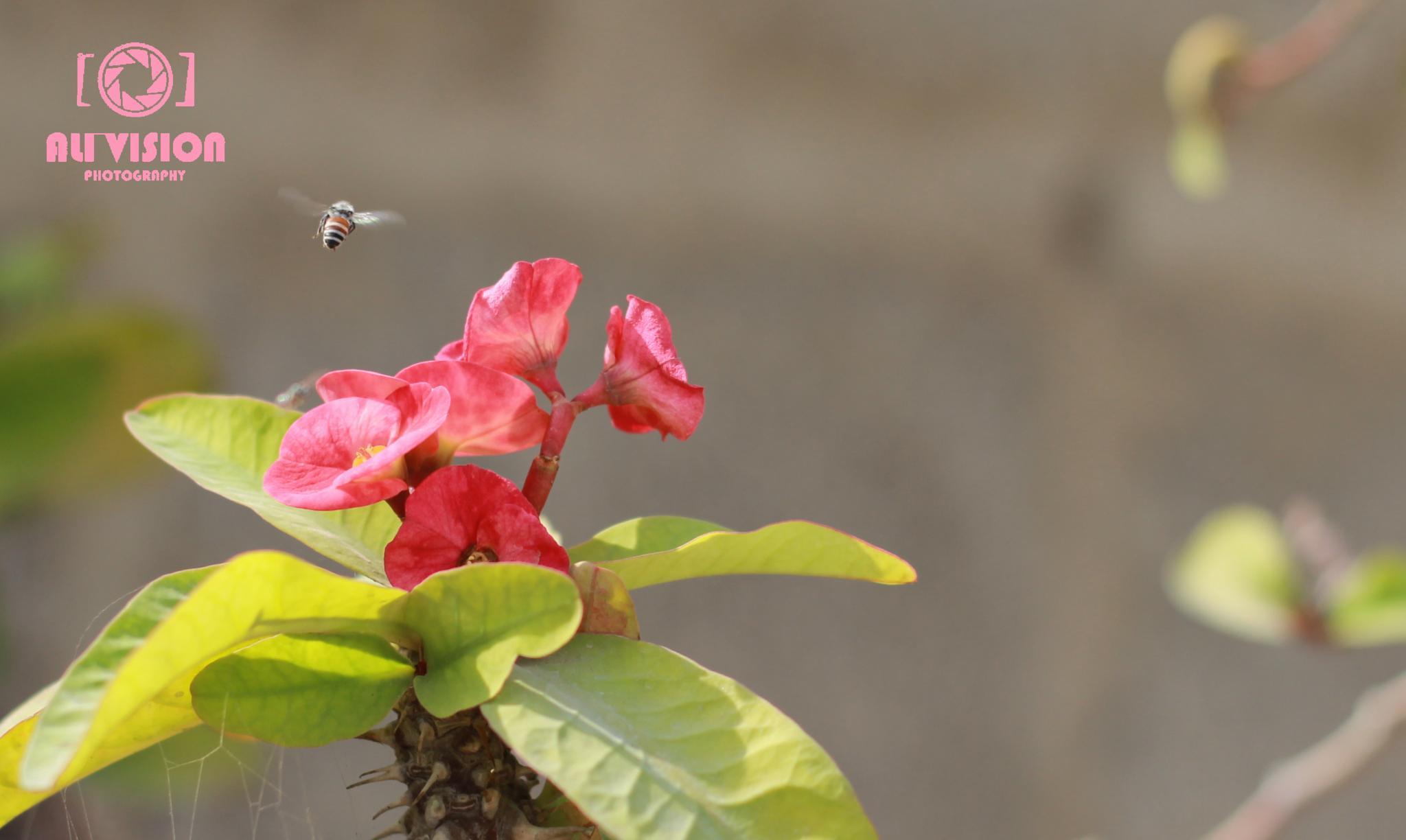 Honey Bee by Syed Muhammad Ali