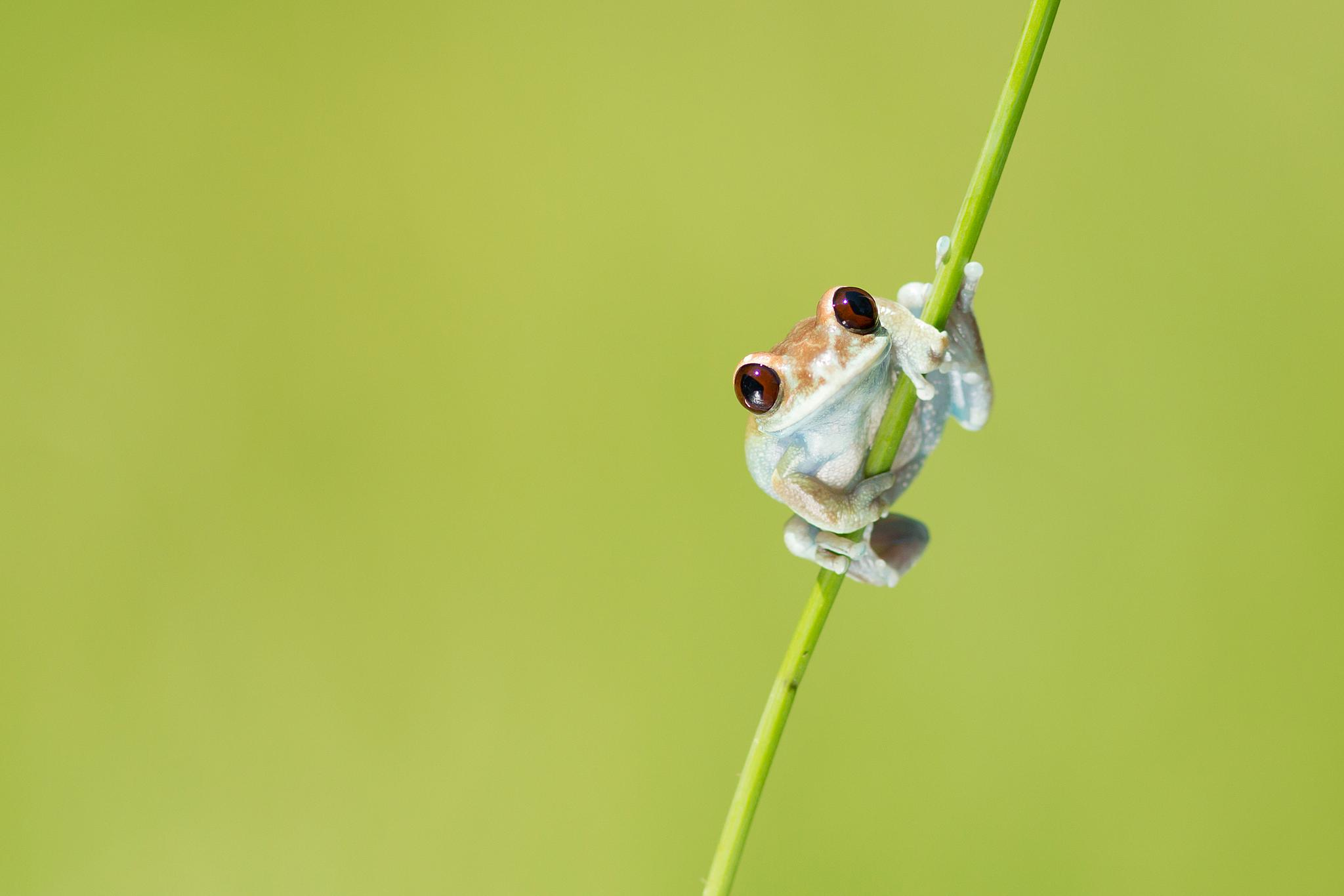 Uluguru forest tree frog by MilanZygmunt
