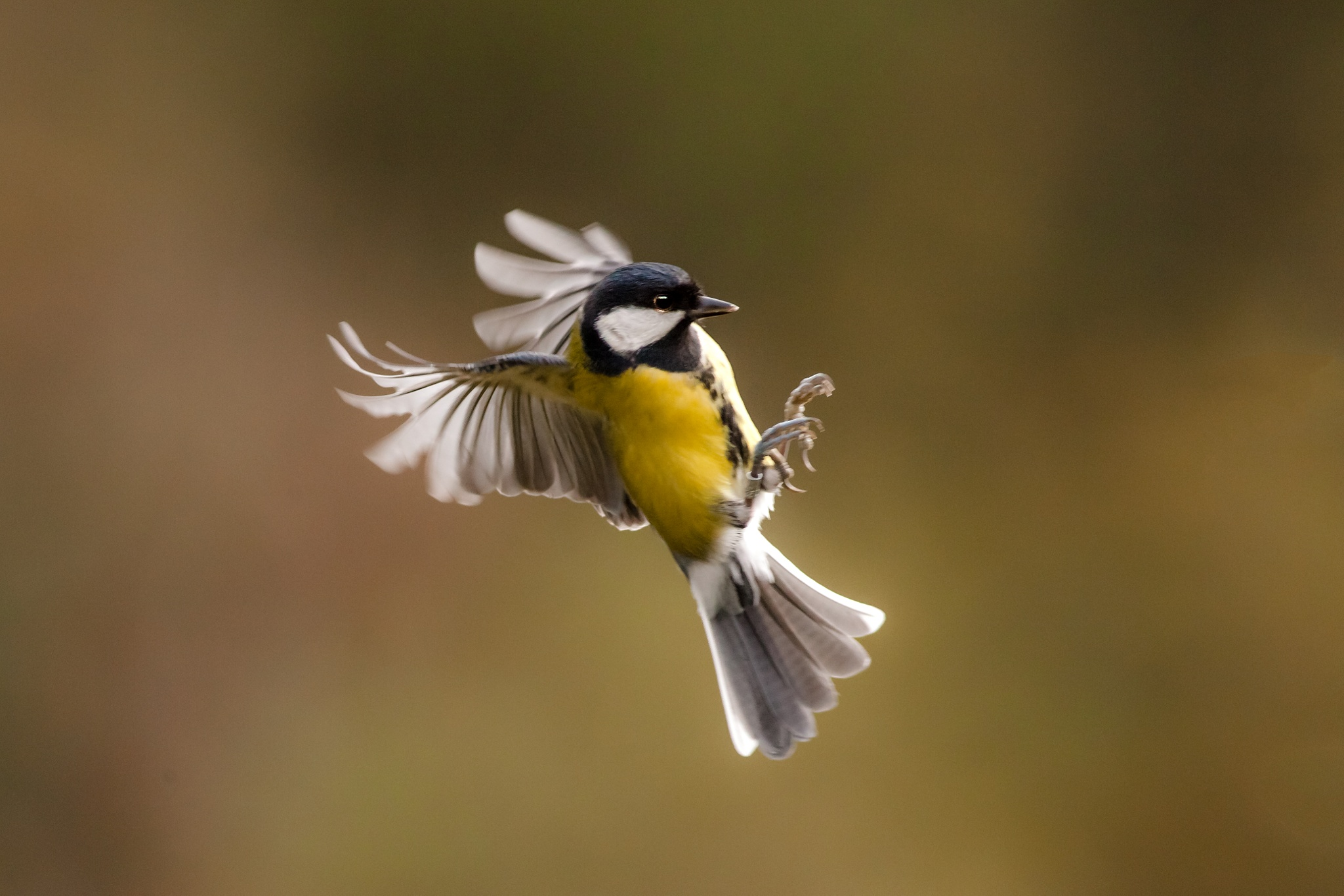 Great Tit in Flight by Phil