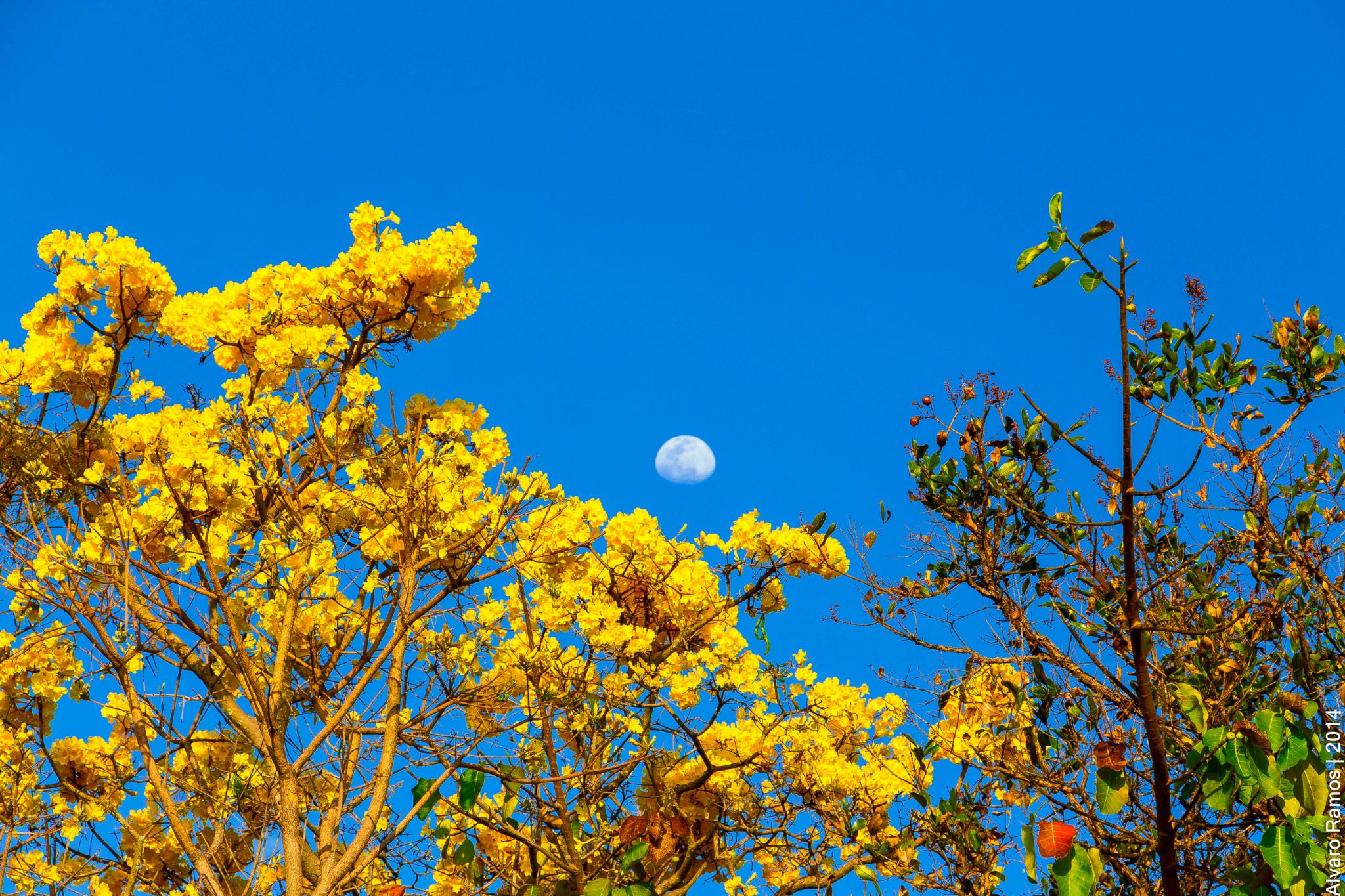 The Yellow Ipe and the Moon  by alvaro.ramos.739