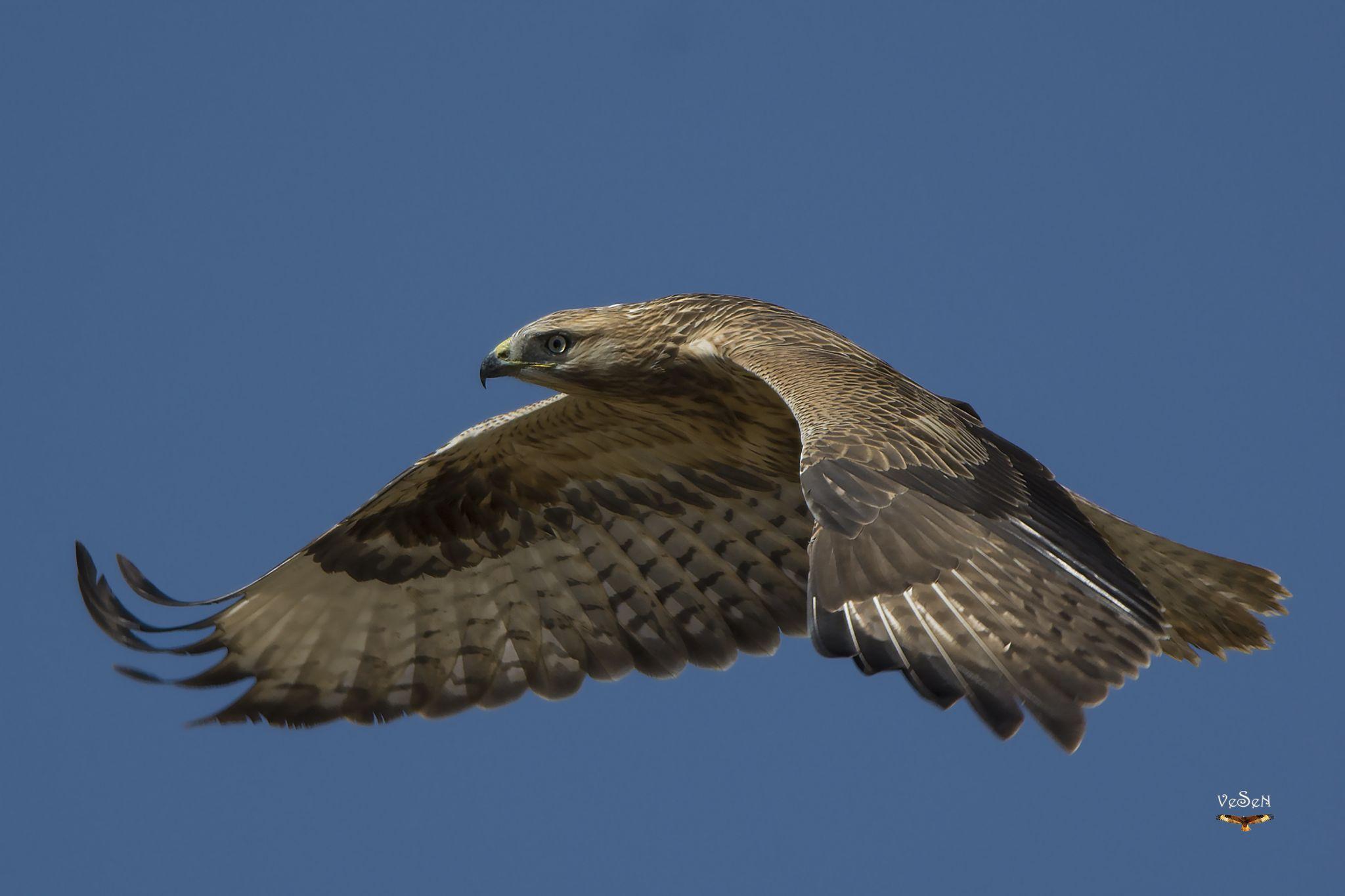 Long-legged buzzard / Buteo rufinus by vedat esen