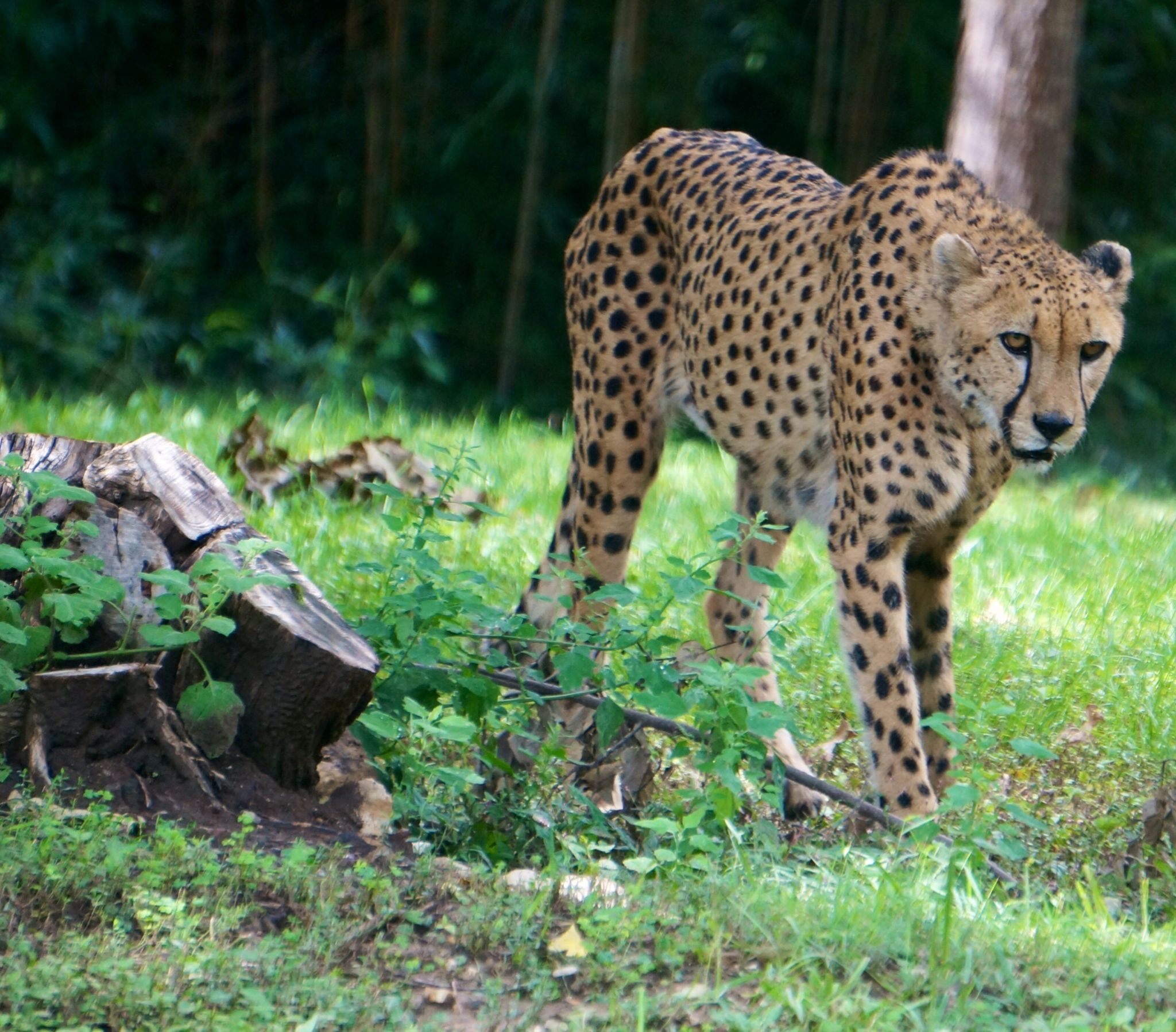 Rules aren't for Cheetahs by craig