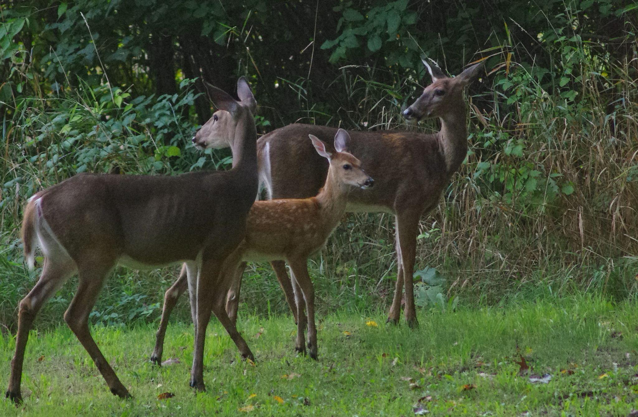 Deer Family by Fernanda Caleffi Barbetta