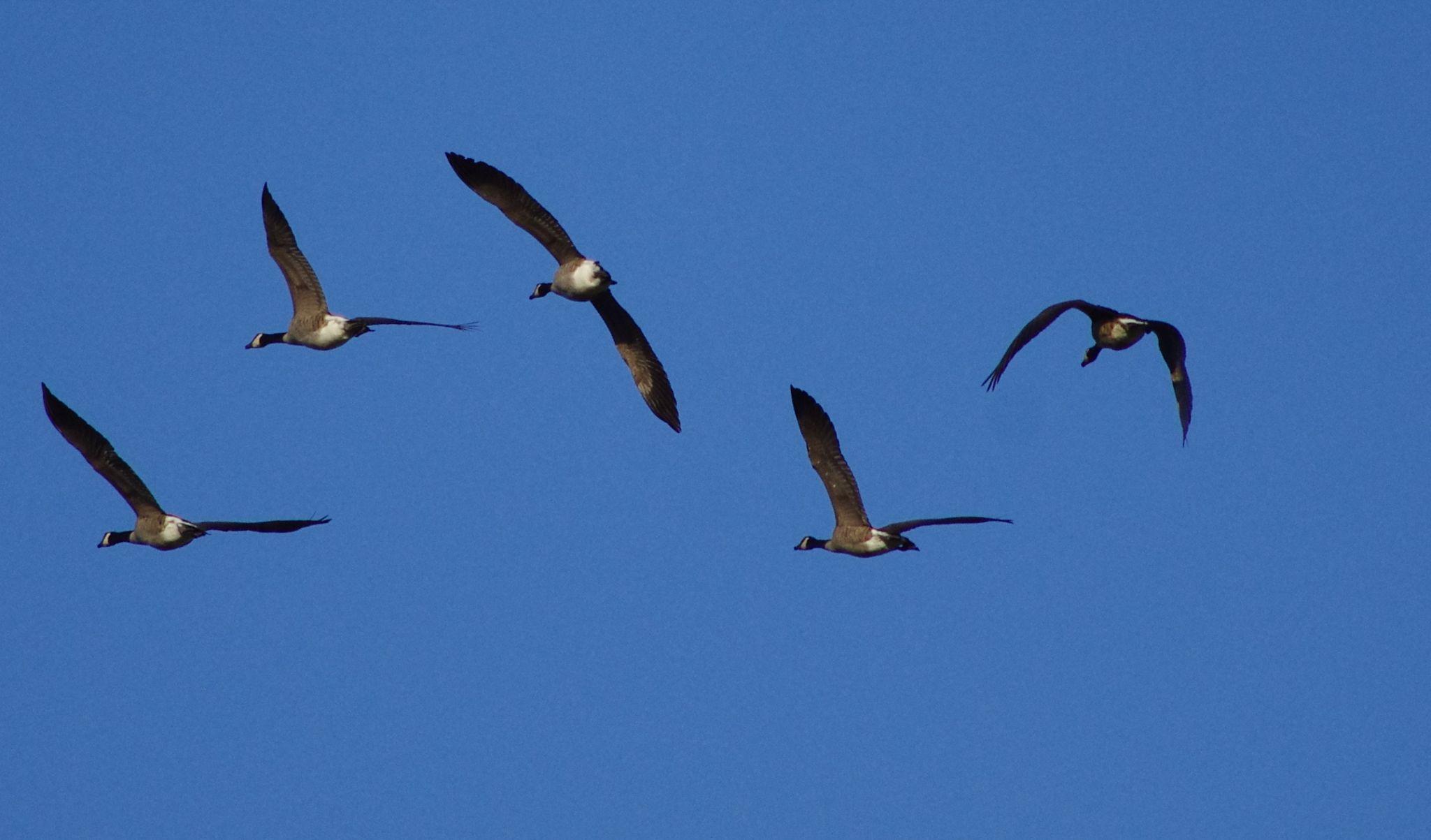Goose flying III by Fernanda Caleffi Barbetta