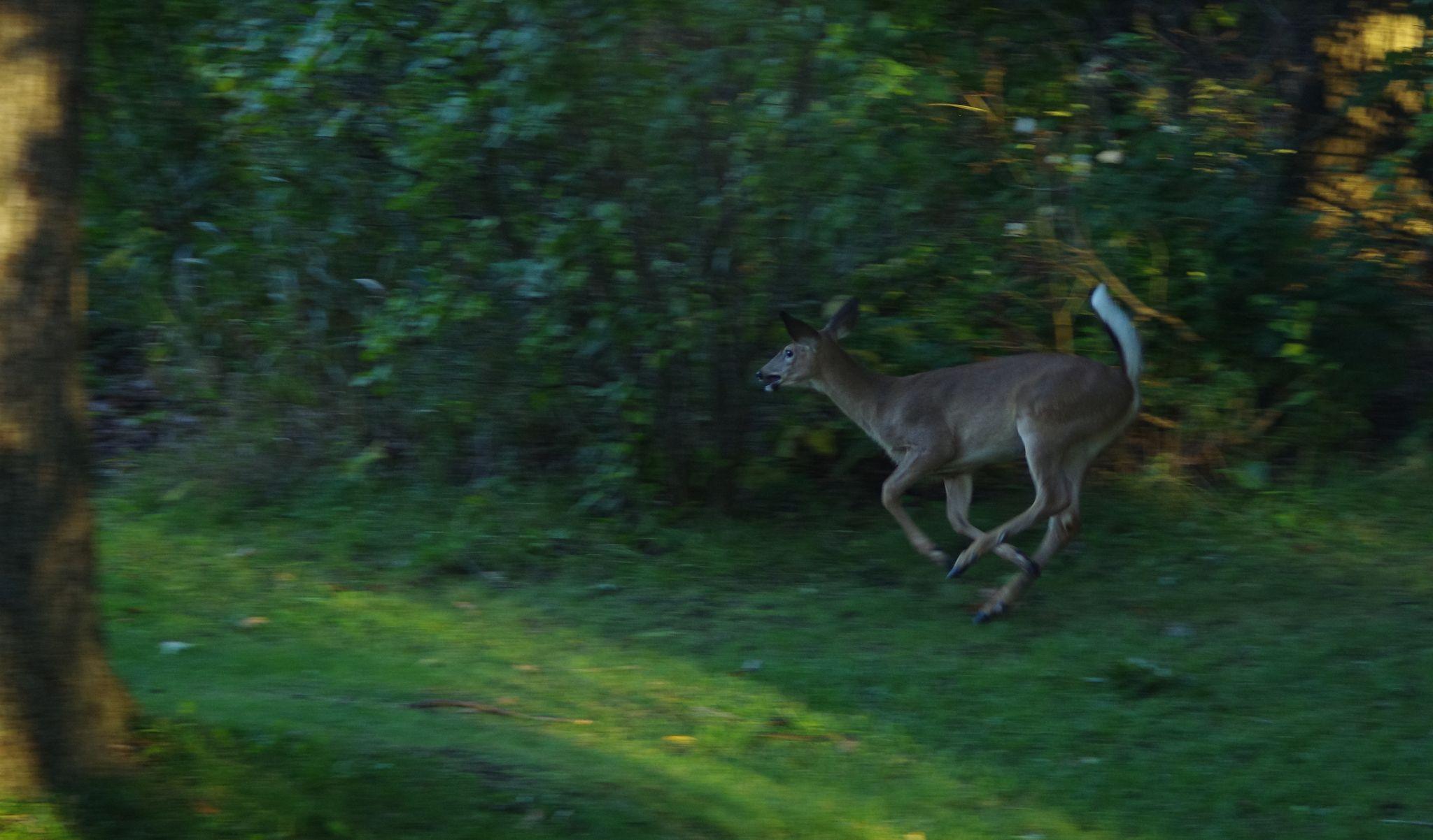 Deer running by Fernanda Caleffi Barbetta