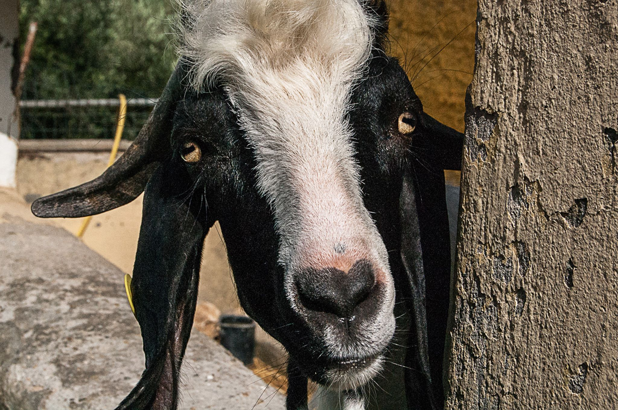 Goat by Andrea Bianchini