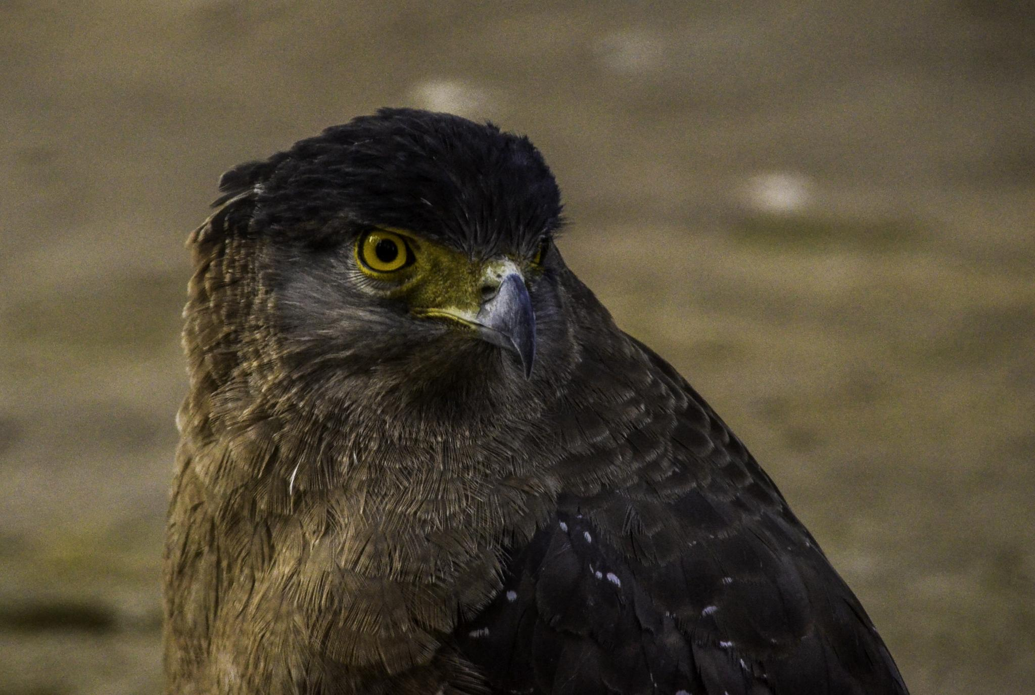Eagle  by Abhishek Dey