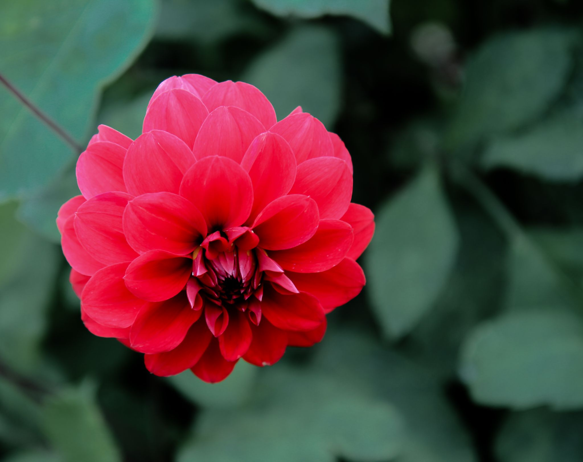 Red dahlia by Ram Ramkumar