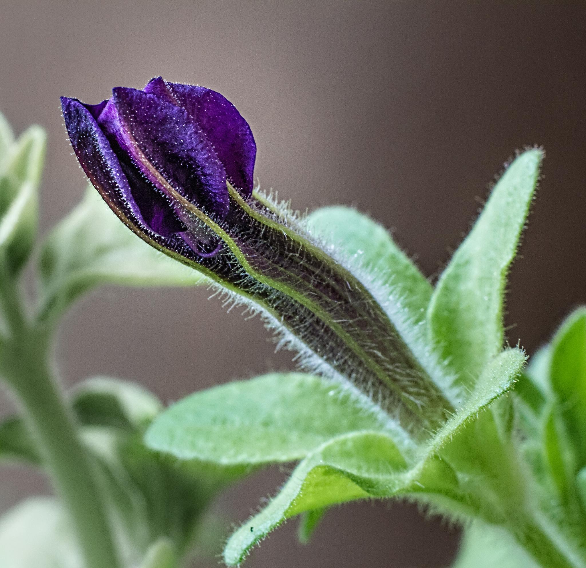 Petunia - budding by Ram Ramkumar