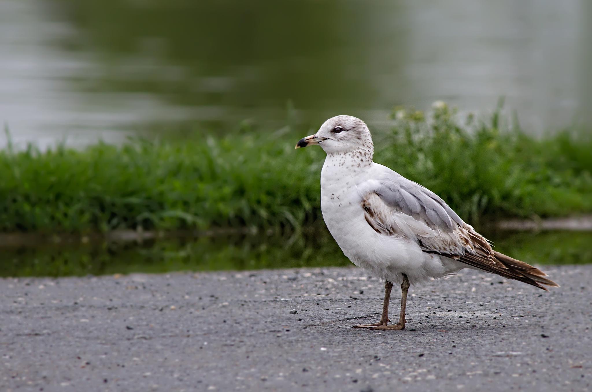 Ring billed gull by Ram Ramkumar