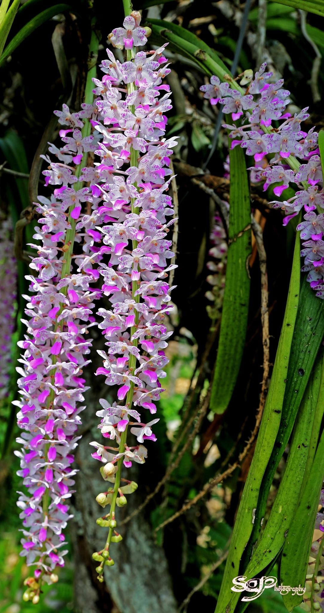 Orchid in Meghalaya by Amalraj
