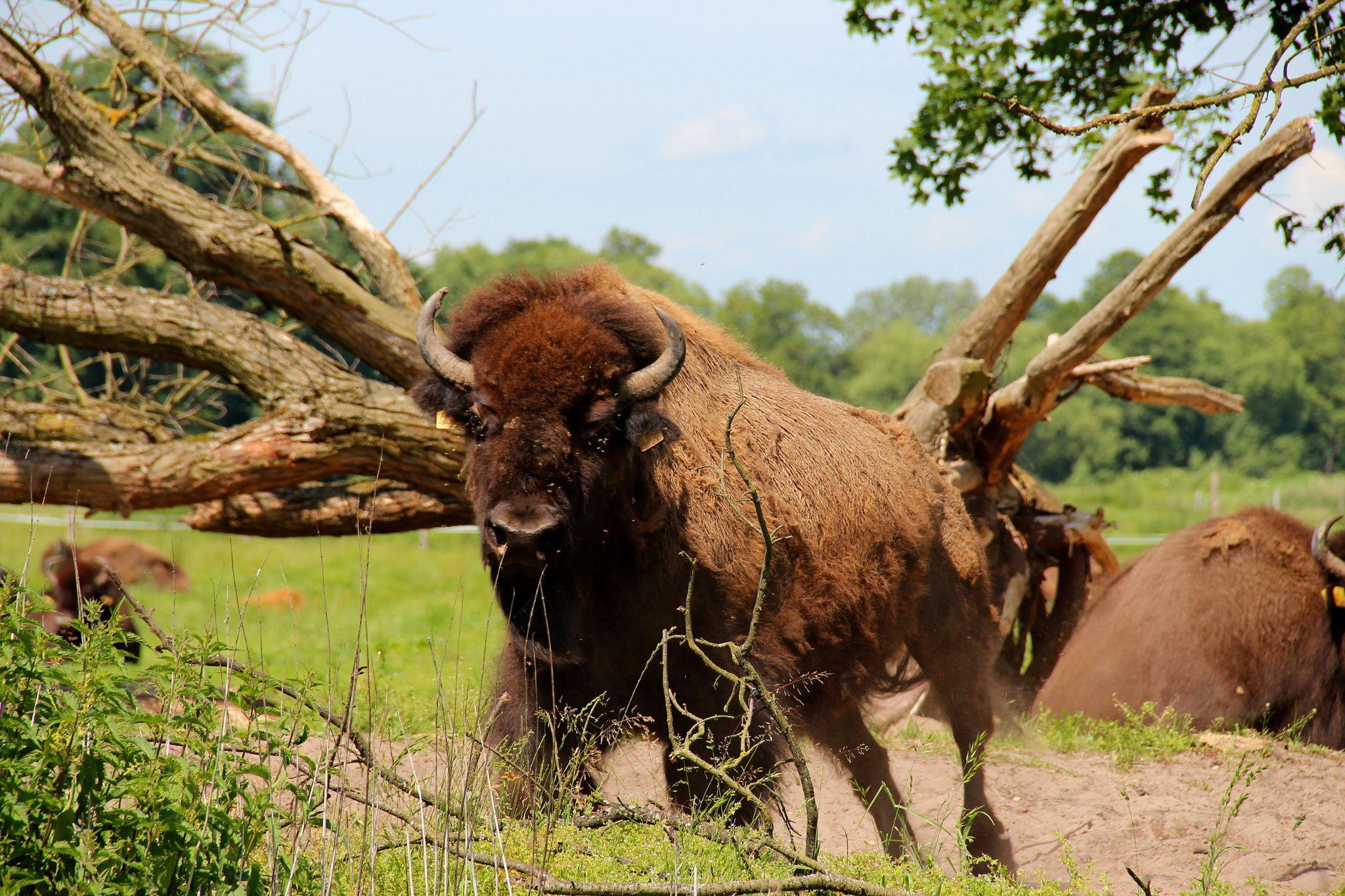 American buffalo - breeding in Poland by Stanislaw Bomba