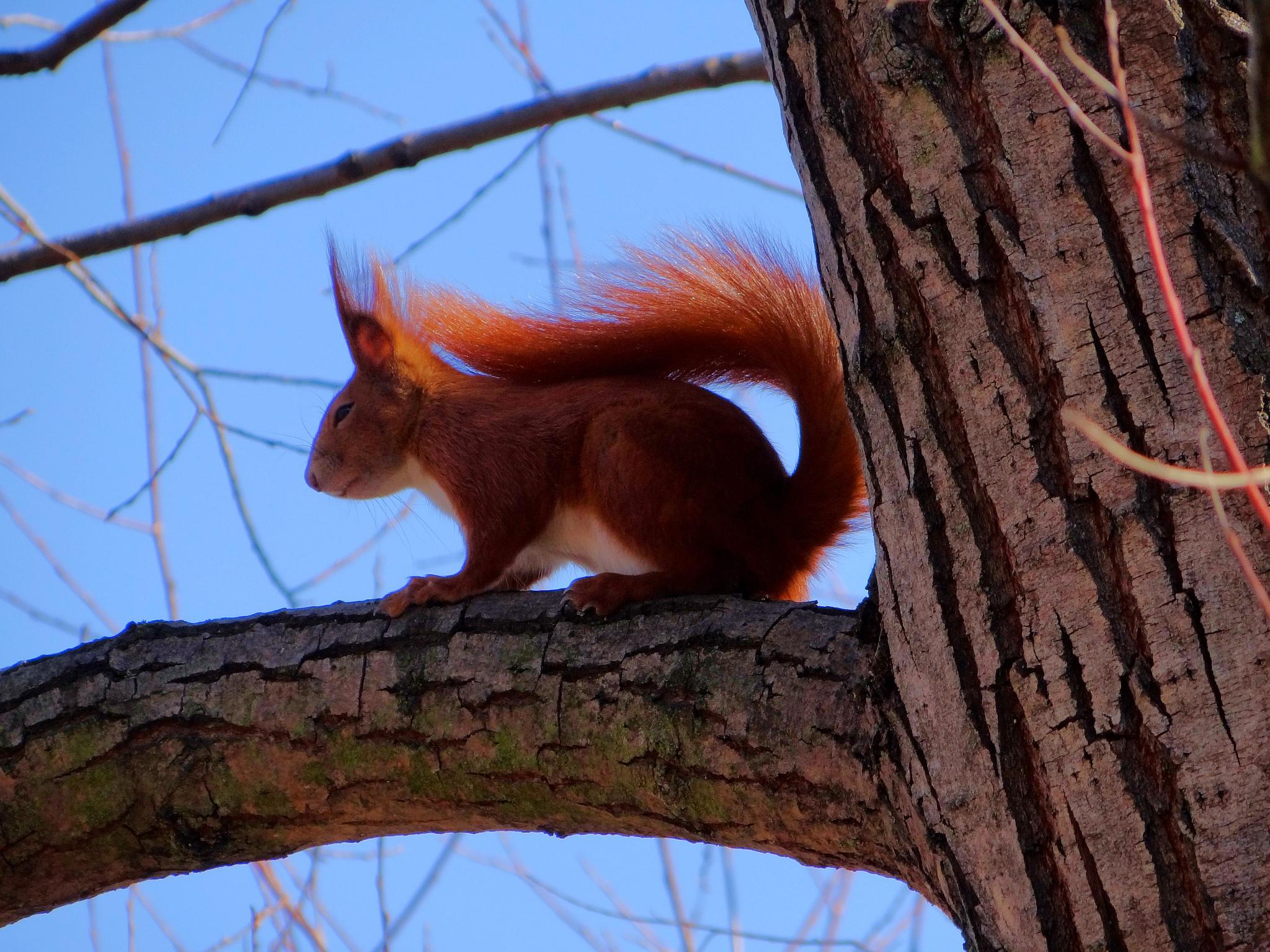 squirrel by Stanislaw Bomba