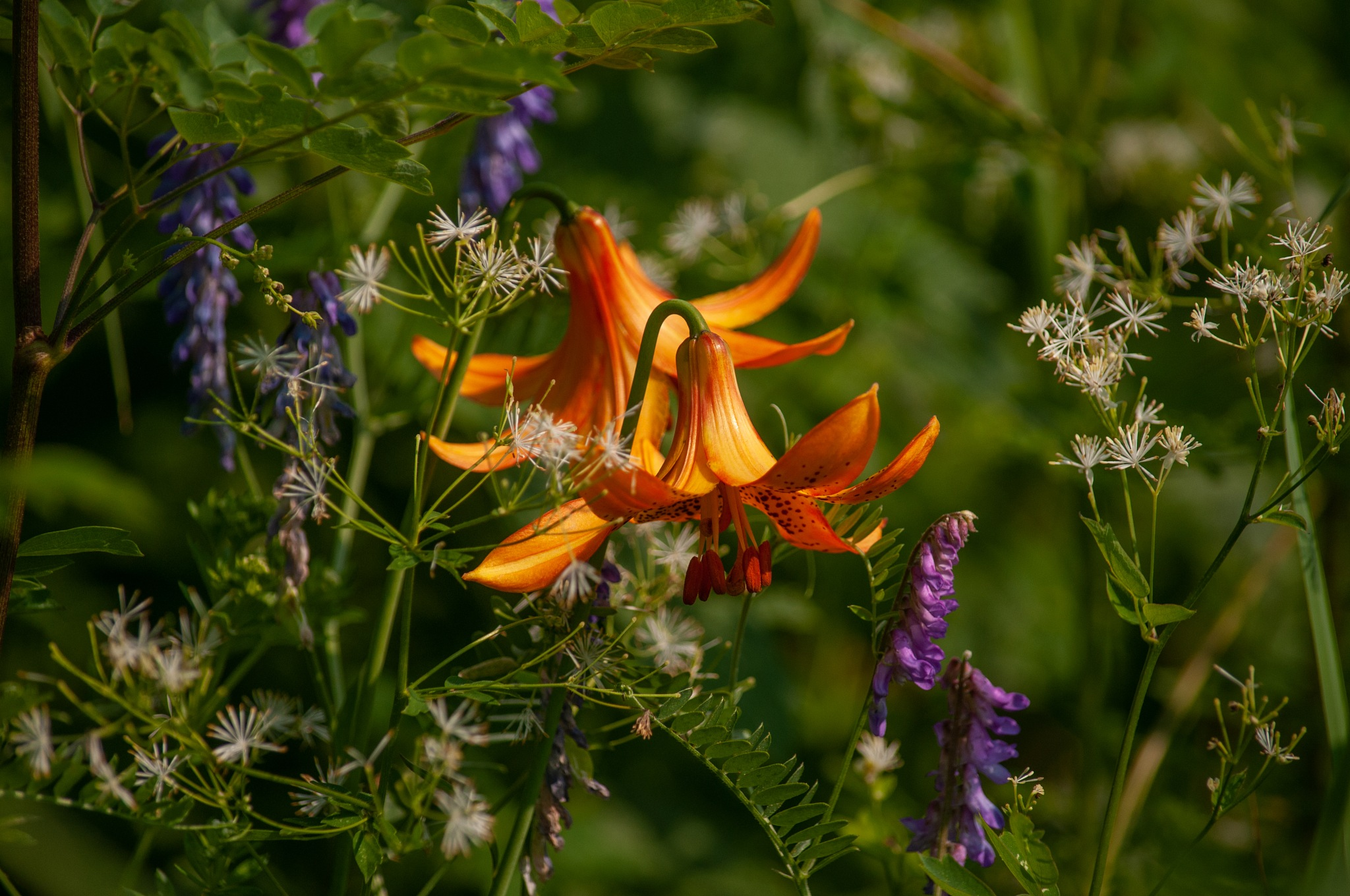 Canada Lily by coleen.ramsay
