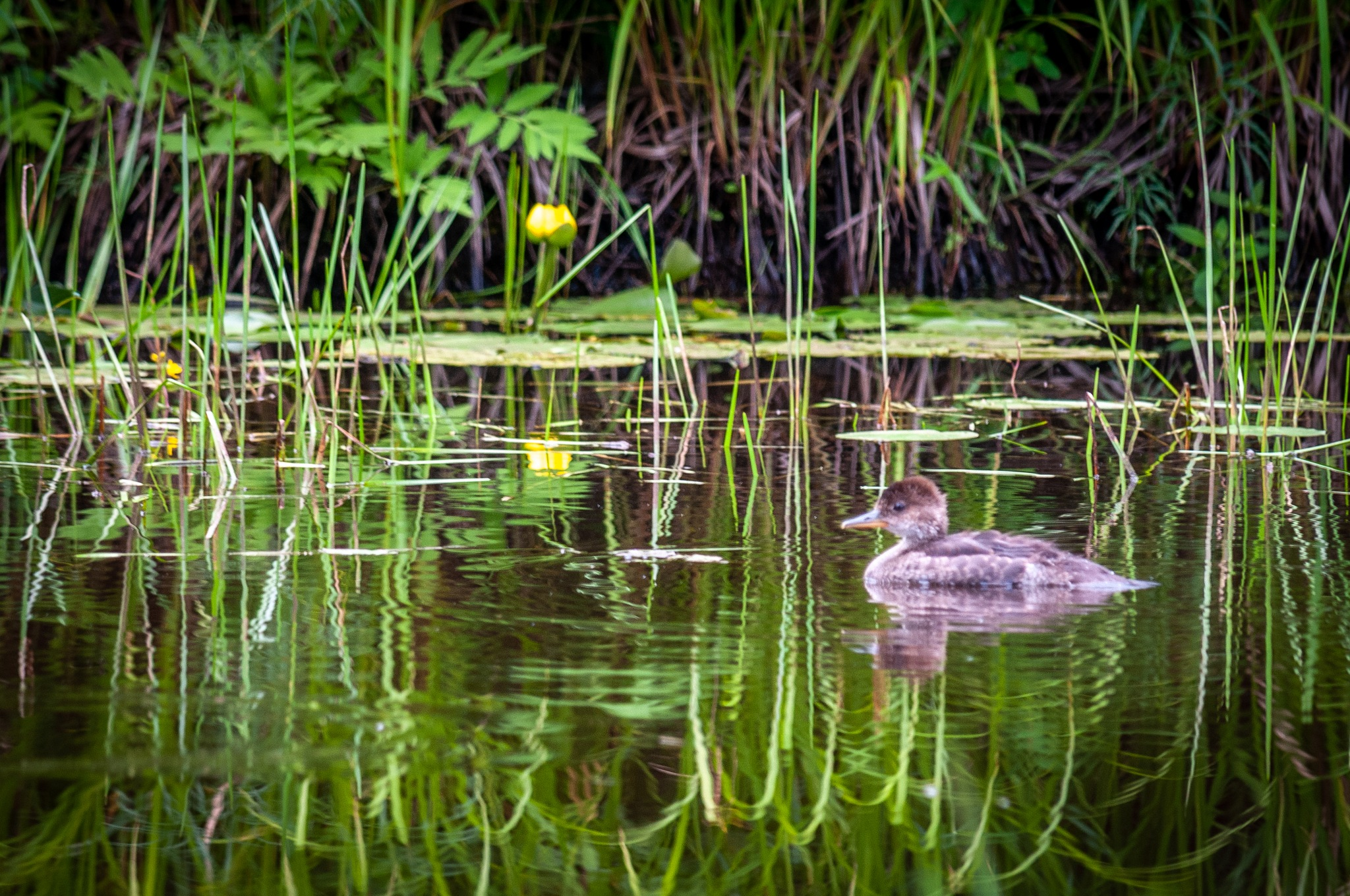 Young Duck by coleen.ramsay