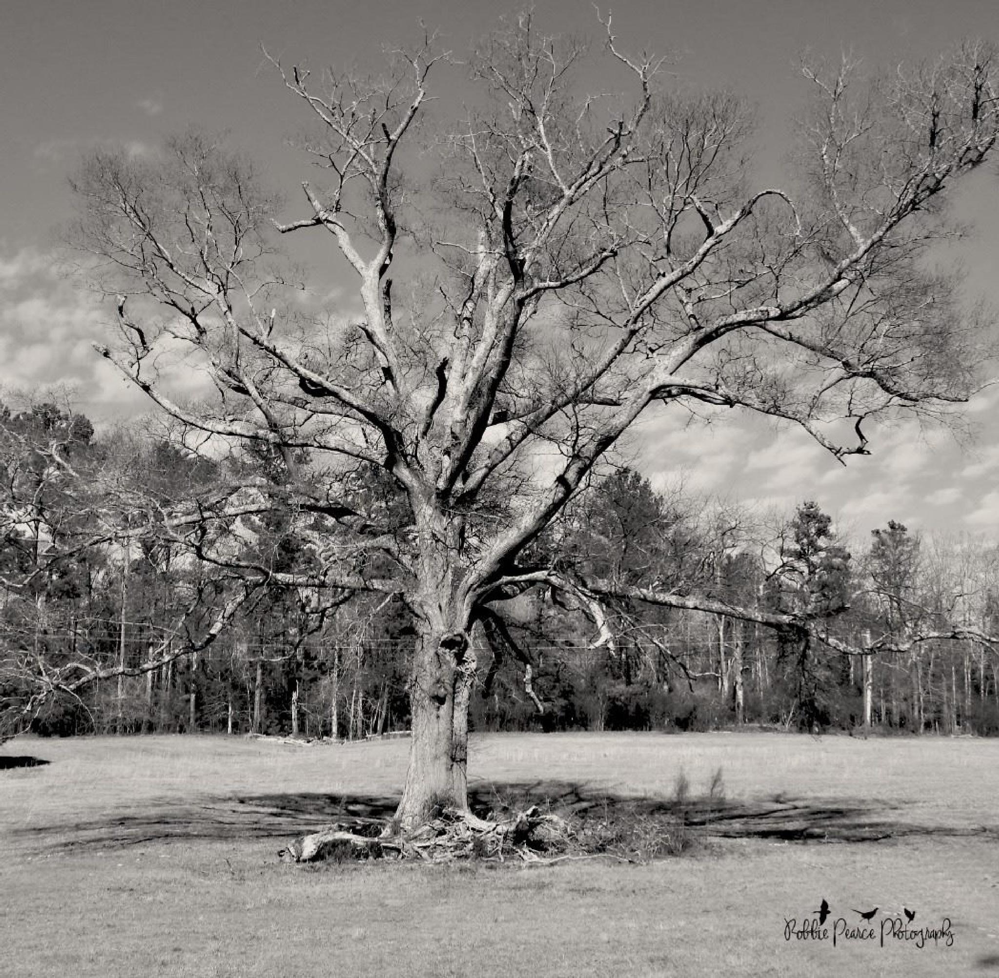 Old oak tree by robbie.s.pearce