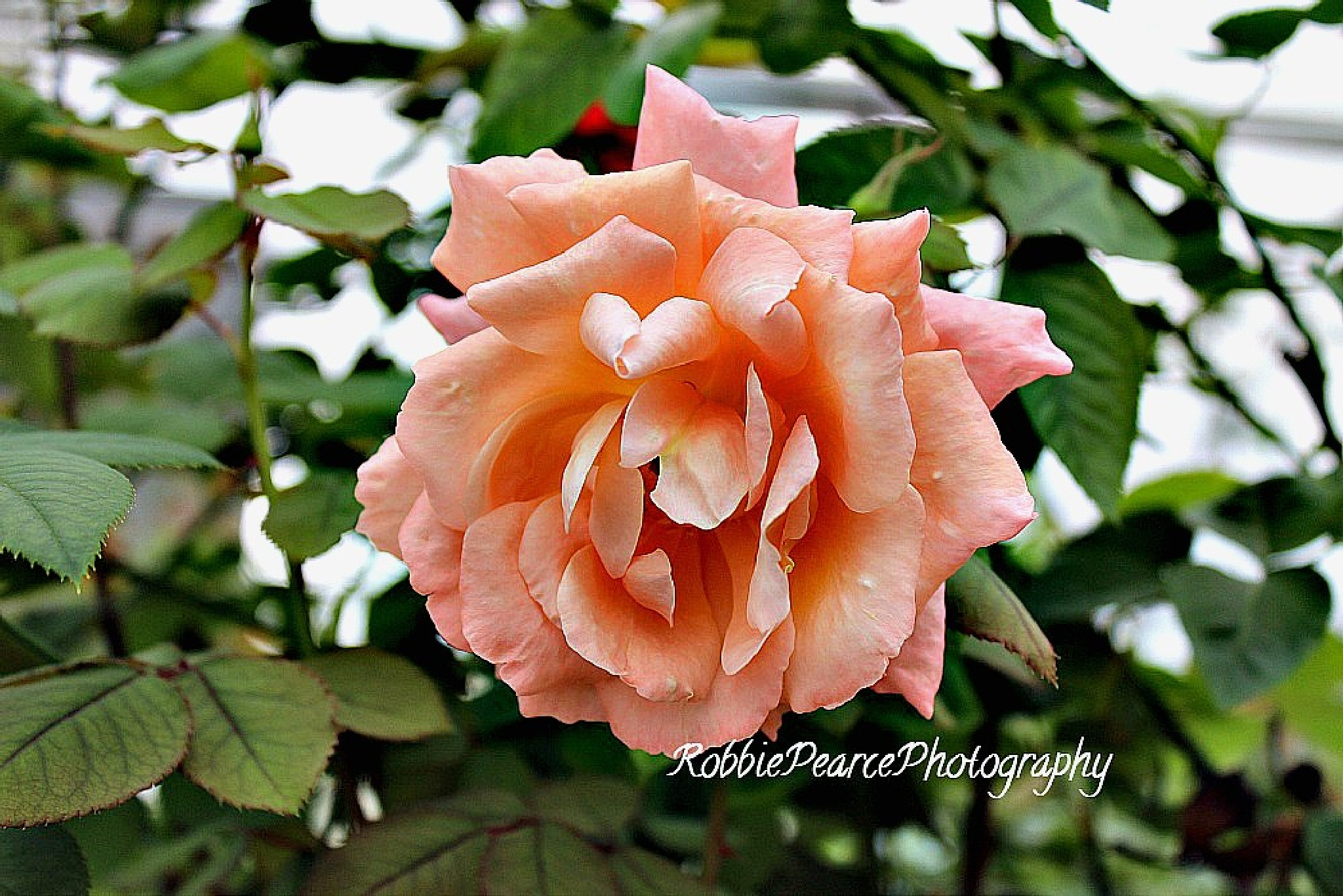 """The fragrance of the rose, remains on the hand that gives it."" by robbie.s.pearce"